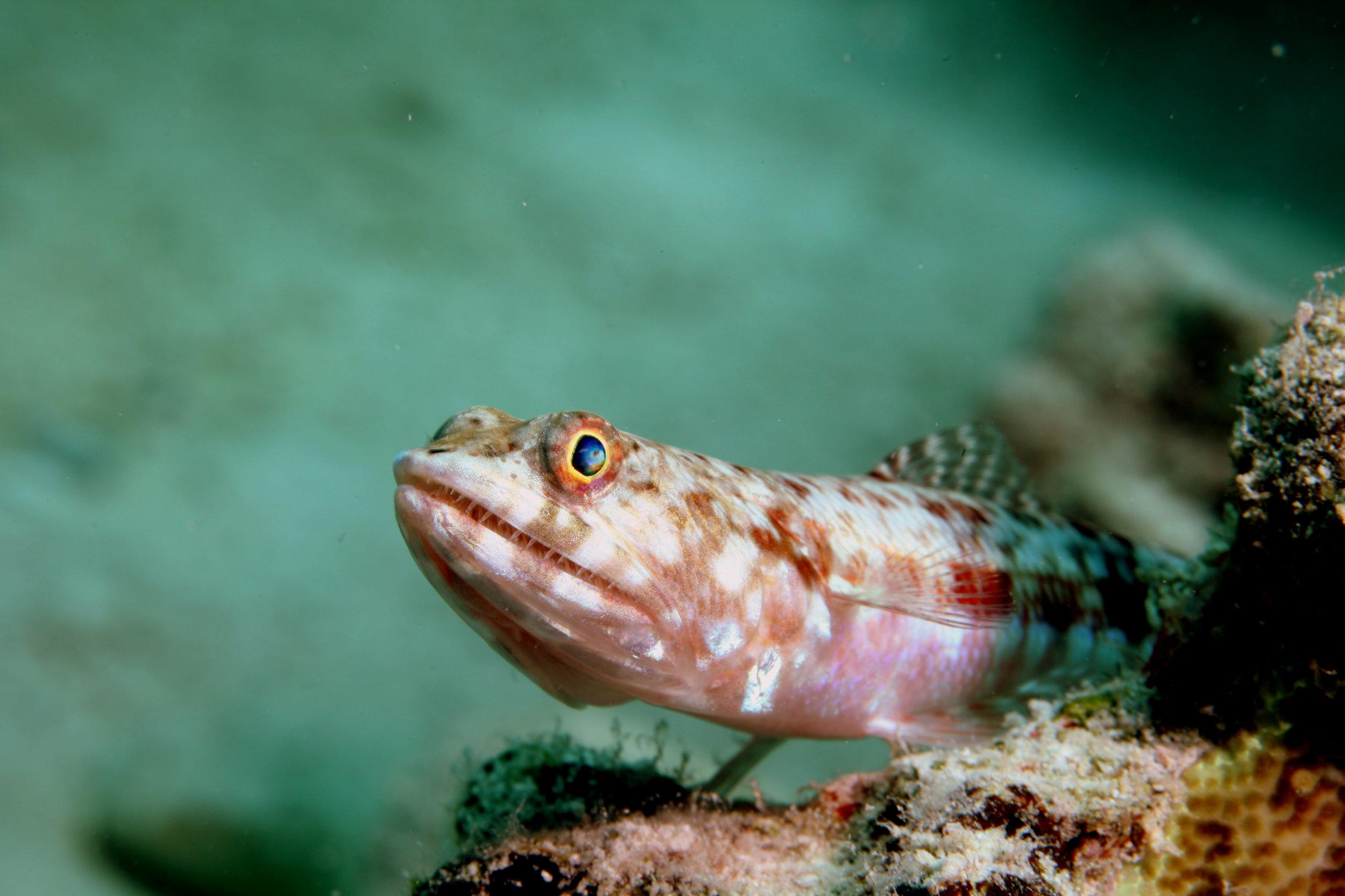 Reef Lizardfish cREDIT: the ocean agency / coral reef image bank