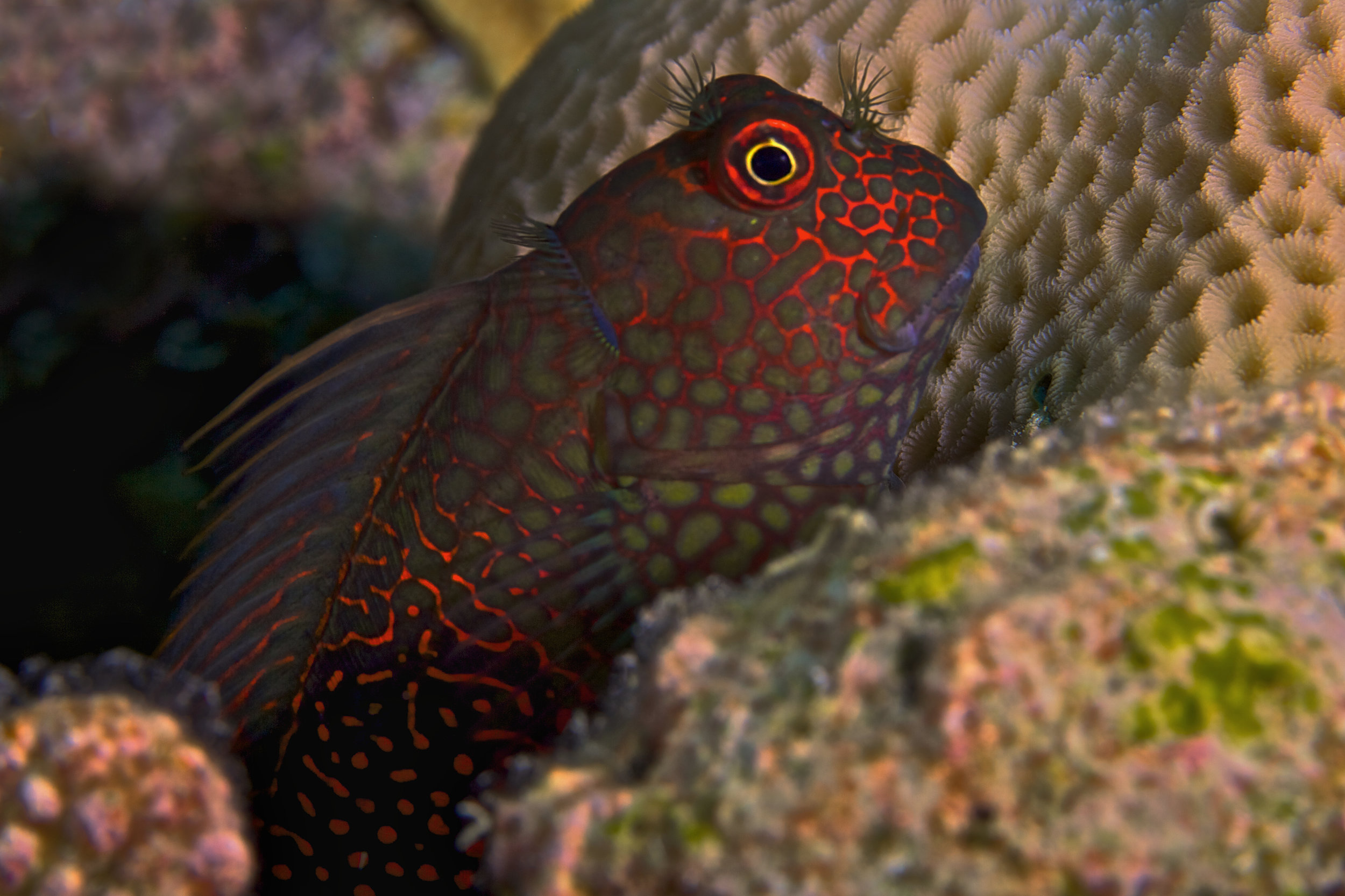 Red-Streaked Blenny CREDIT: the ocean agency / coral reef image bank