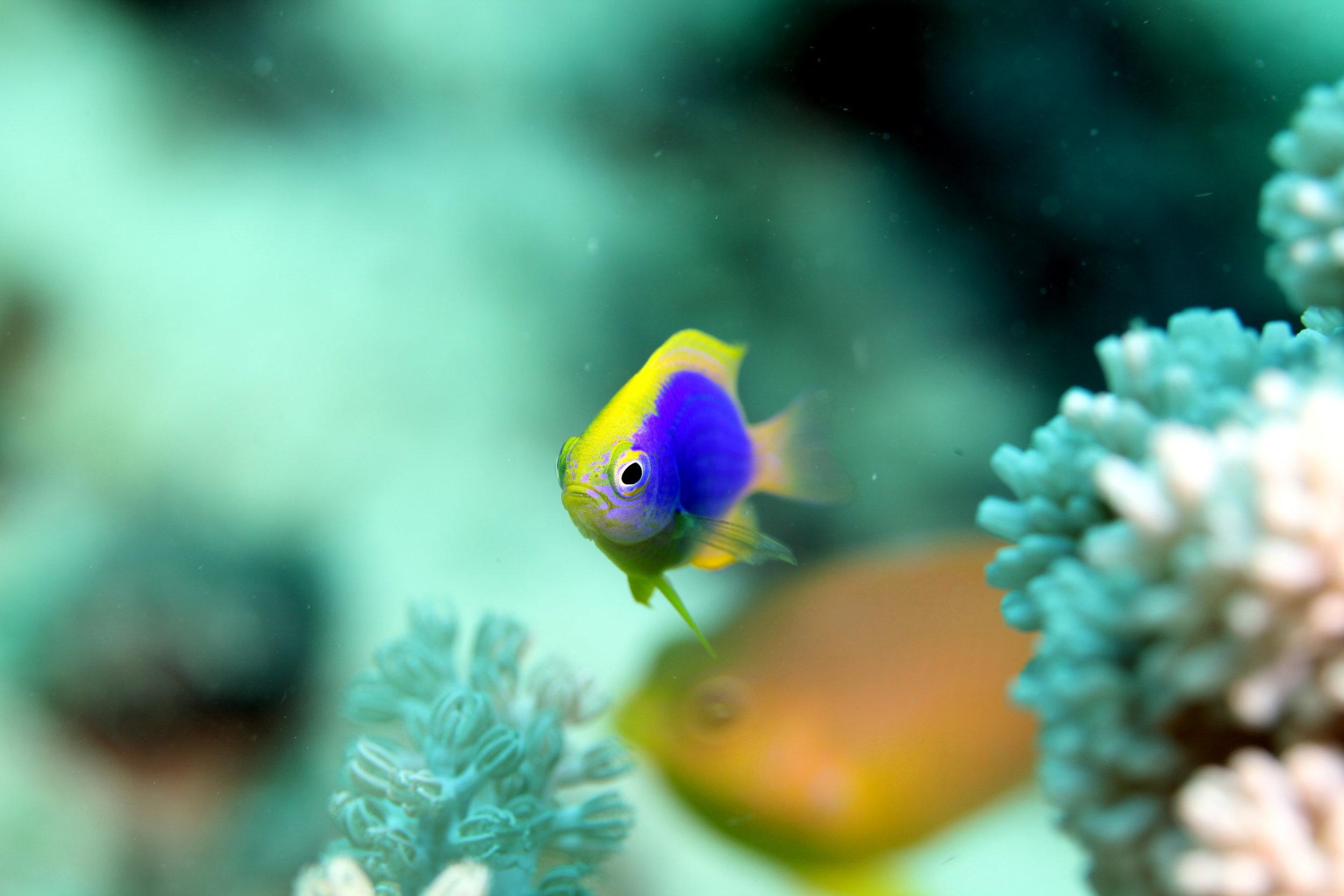 damselfish cREDIT: the ocean agency / coral reef image bank