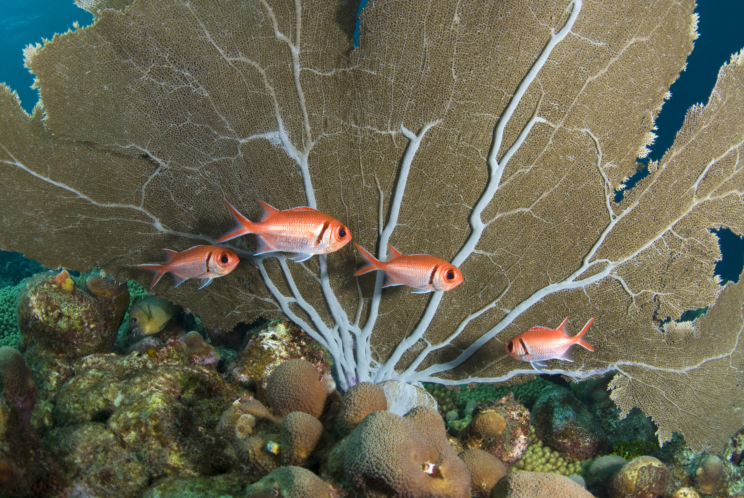 squirrel fish with fan CREDIT: THE OCEAN AGENCY/ coral reef image bank