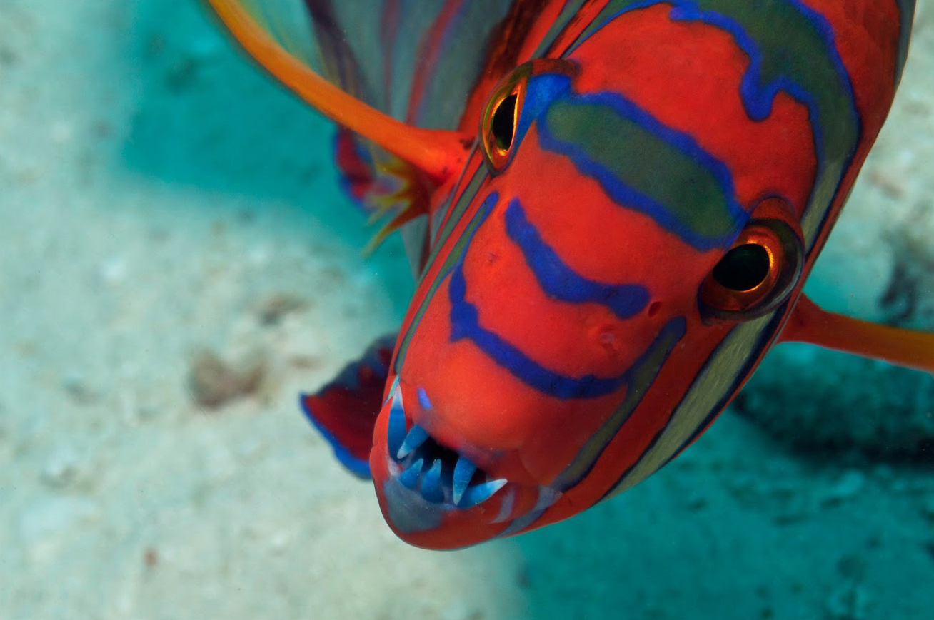 the harlequin tuskfish CREDIT: the ocean agency / coral reef image bank