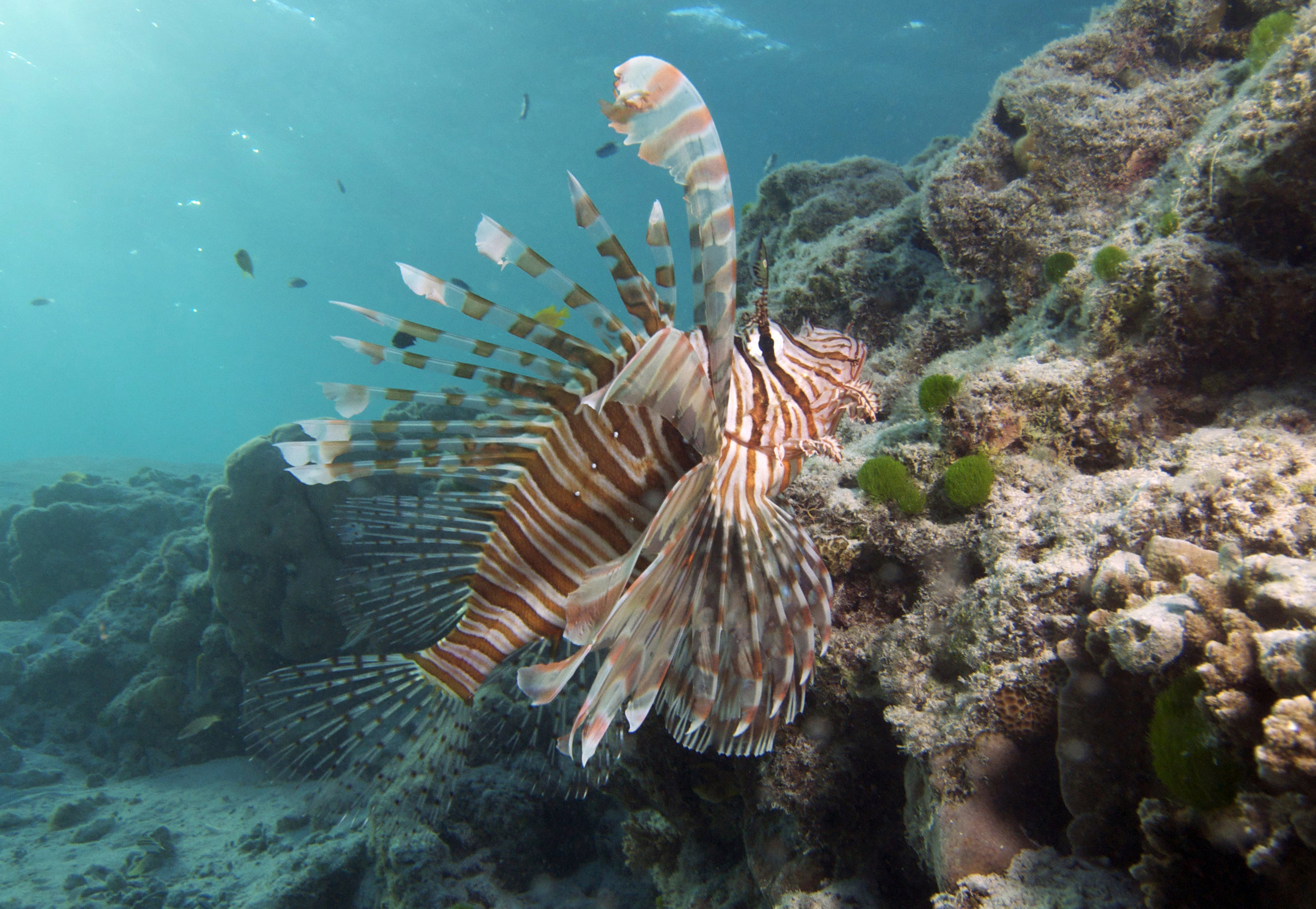 lion fish CREDIT: the ocean agency / coral reef image bank