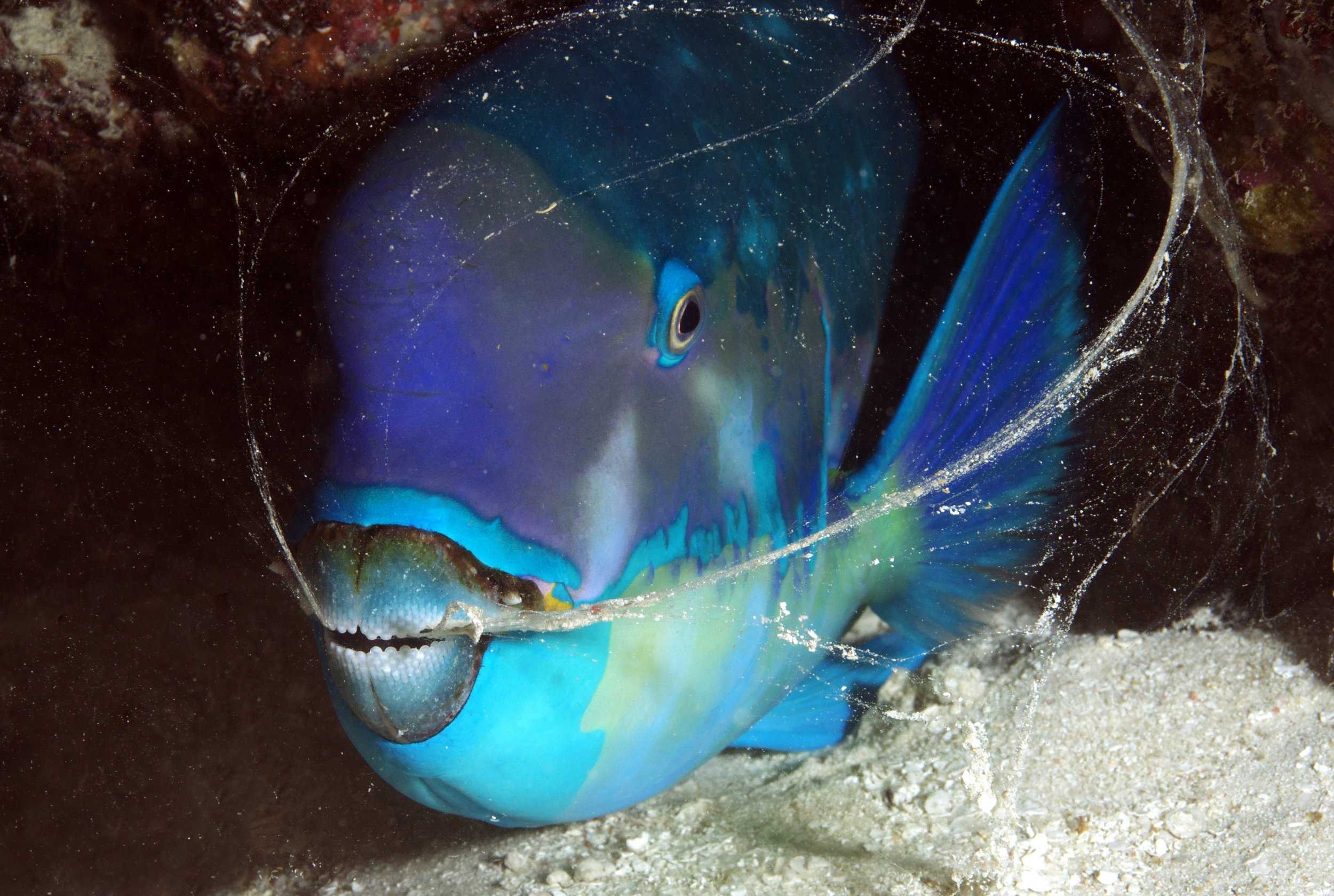 blue parrotfish CREDIT: the ocean agency / coral reef image bank