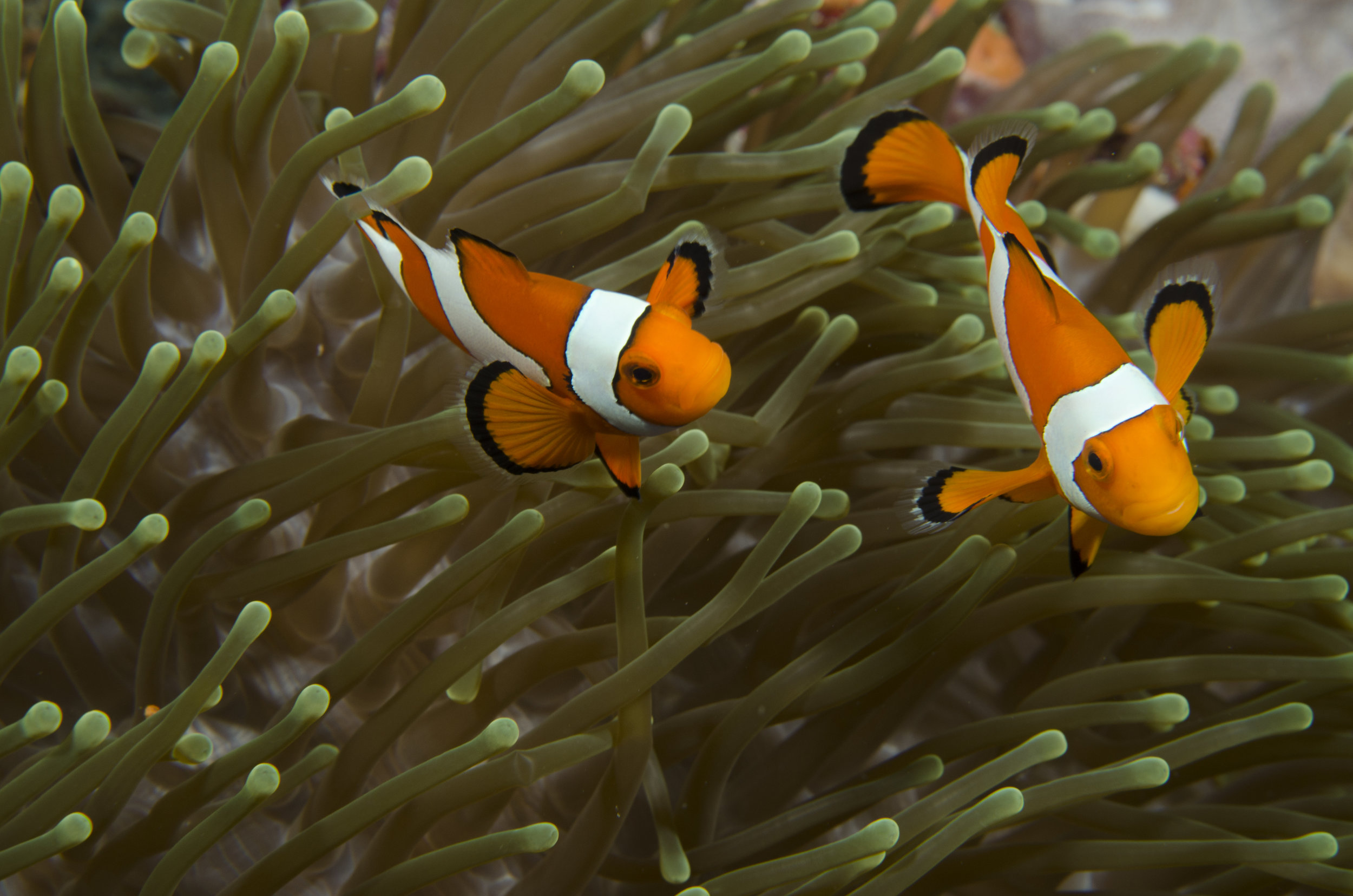 clownfish and anemone CREDIT: the ocean agency / coral reef image bank