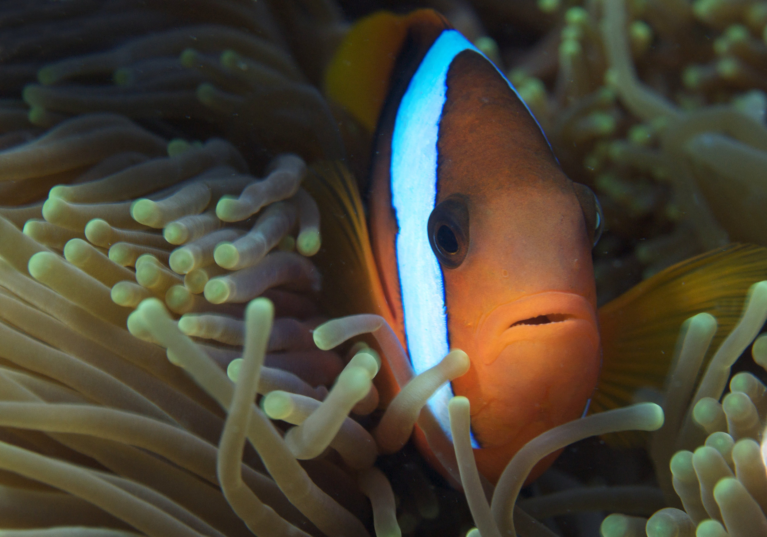 clownfish in anemone CREDIT: THE OCEAN AGENCY / coral reef image bank