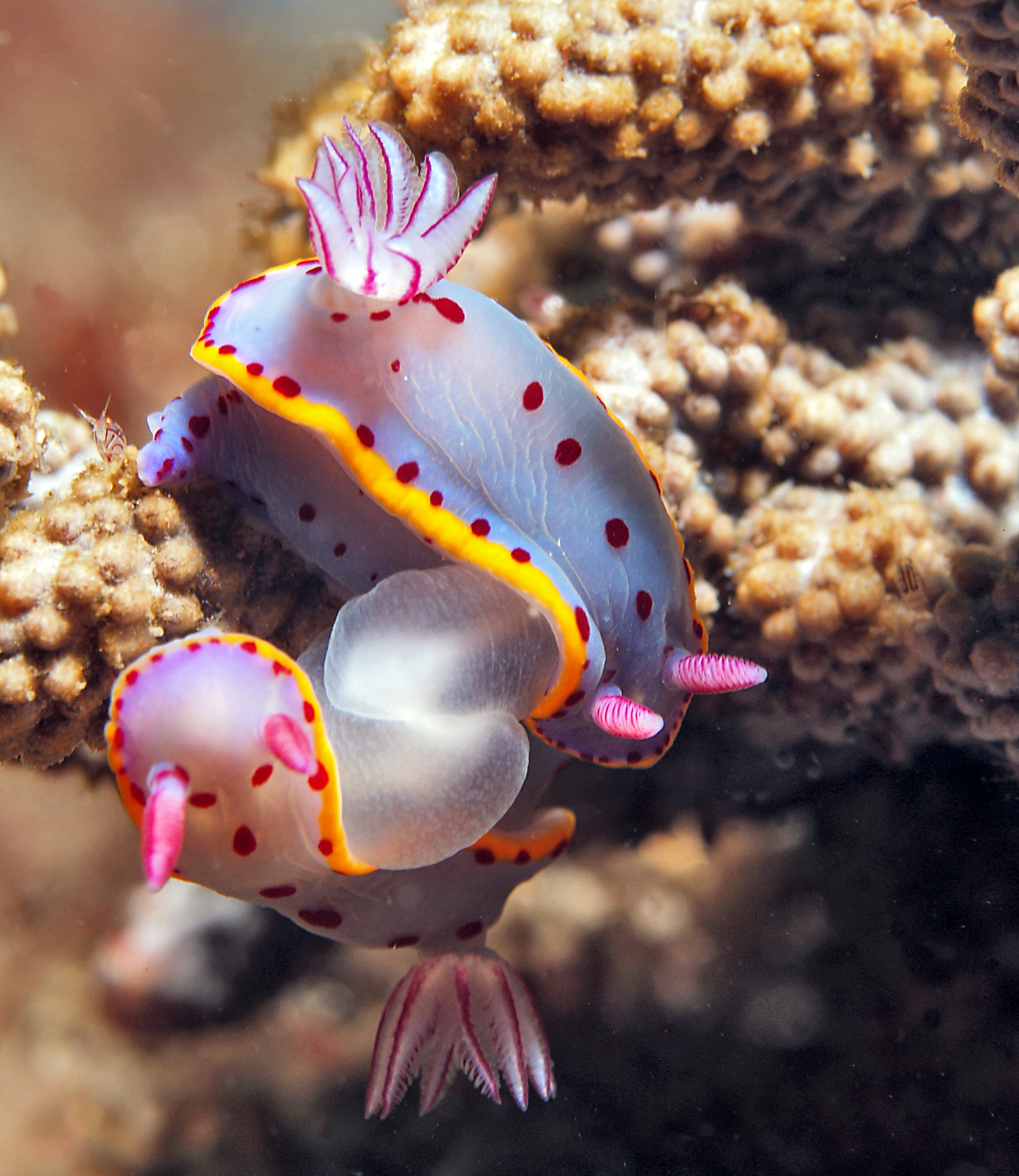 MAting nudibranchs credit: JAYNE JENKINS / coral reef image bank