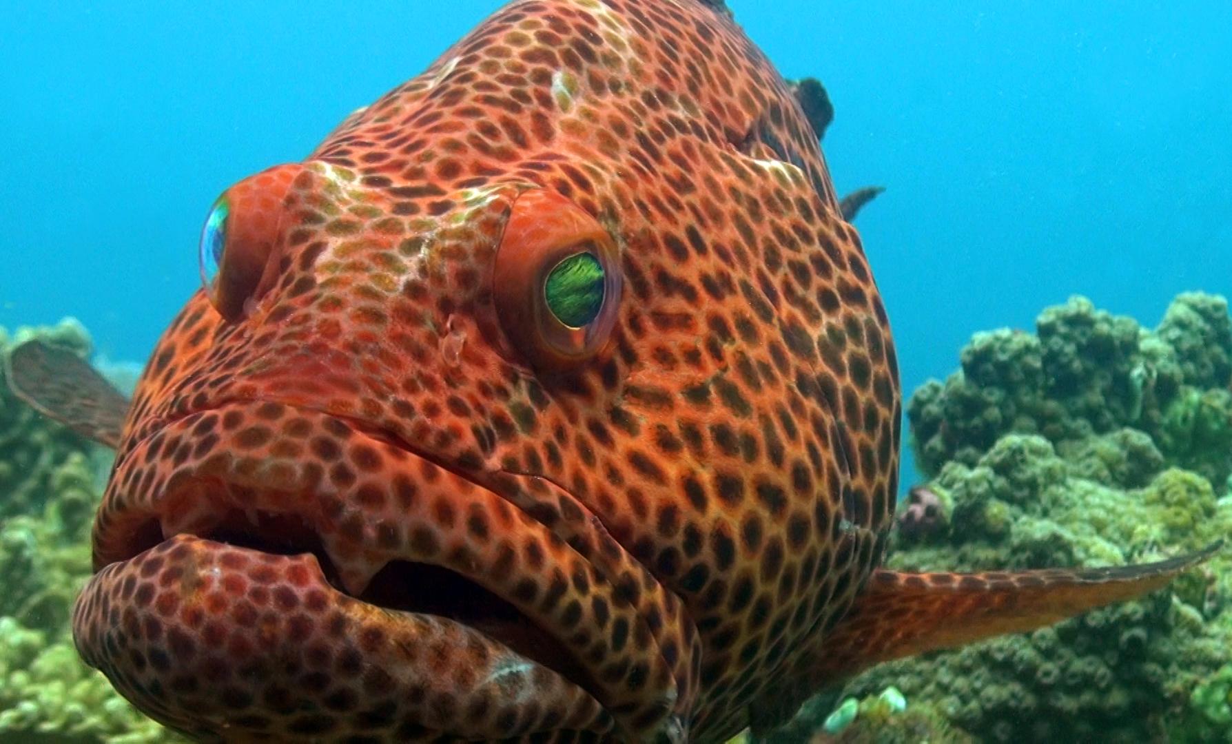 GROUPER CREDIT: Bark Lukasik / coral reef image bank