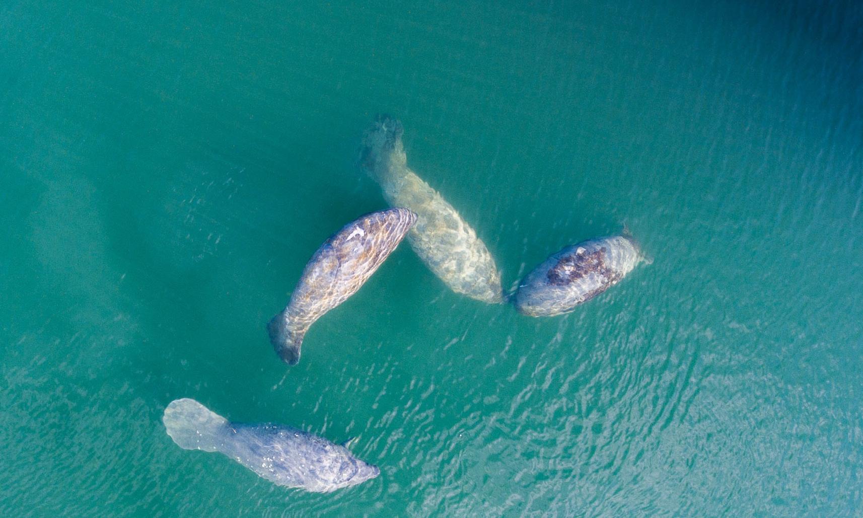 MANATEES, FLORIDA credit: DAVID GROSS / coral reef image bank
