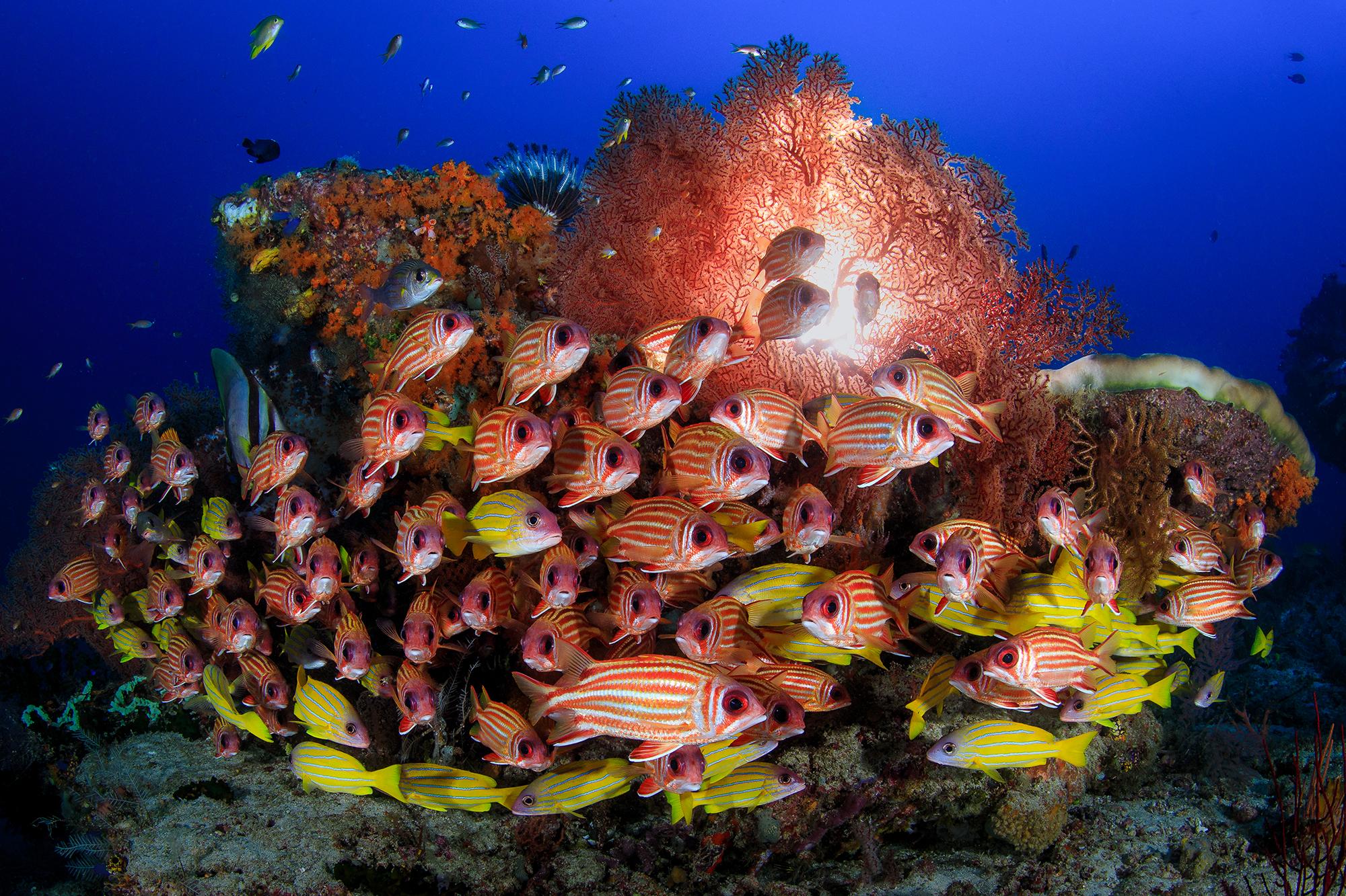 A SCHOOL of SQUIRREL FISH in raja ampat CREDIT: YEN-YI LEE / coral reef image bank