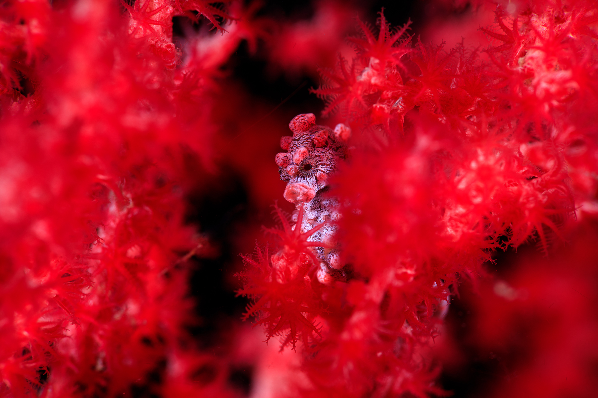 pygmy SEAHORSE IN LEMBAH credit: yen-yi lee / coral reef image bank
