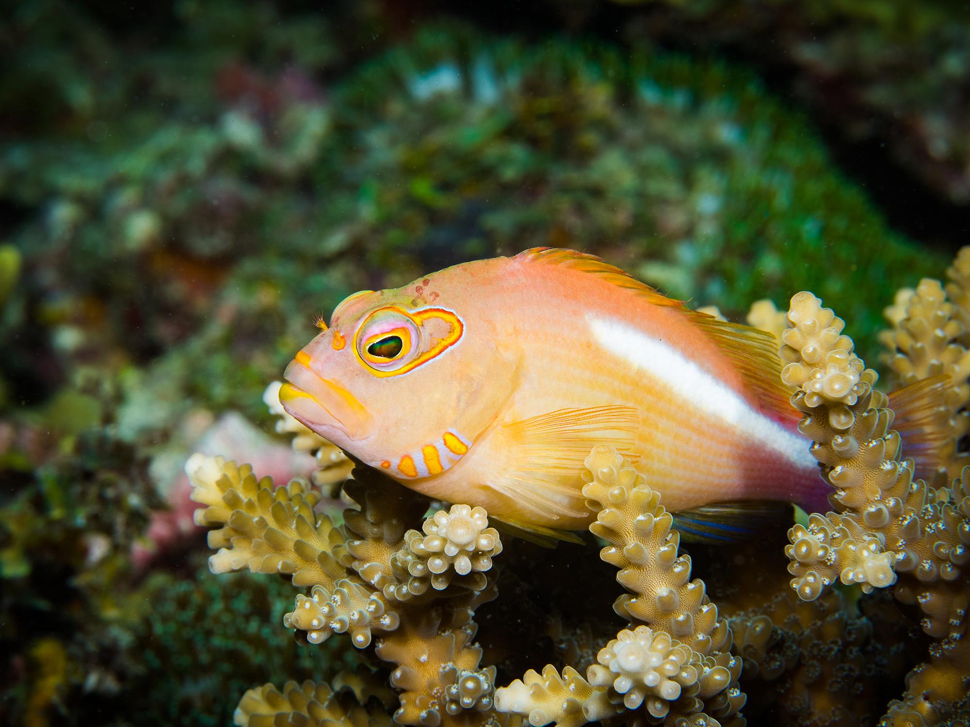 Hawkfish in Mafia Island, Tanzania CREDIT: SIMON J. PIERCE / coral reef image bank