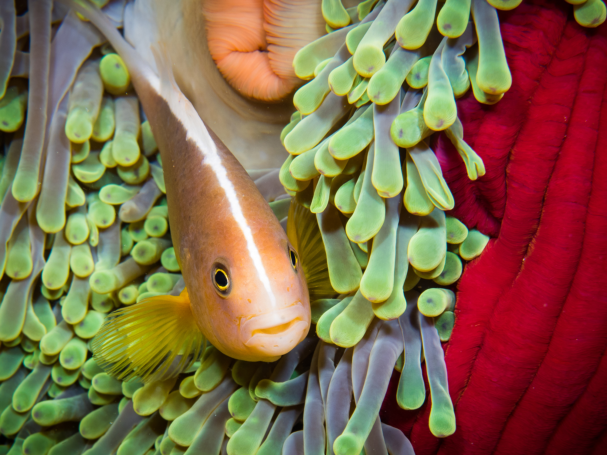 Anenomefish in Tanzania CREDIT: SIMON J. PIERCE / coral reef image bank