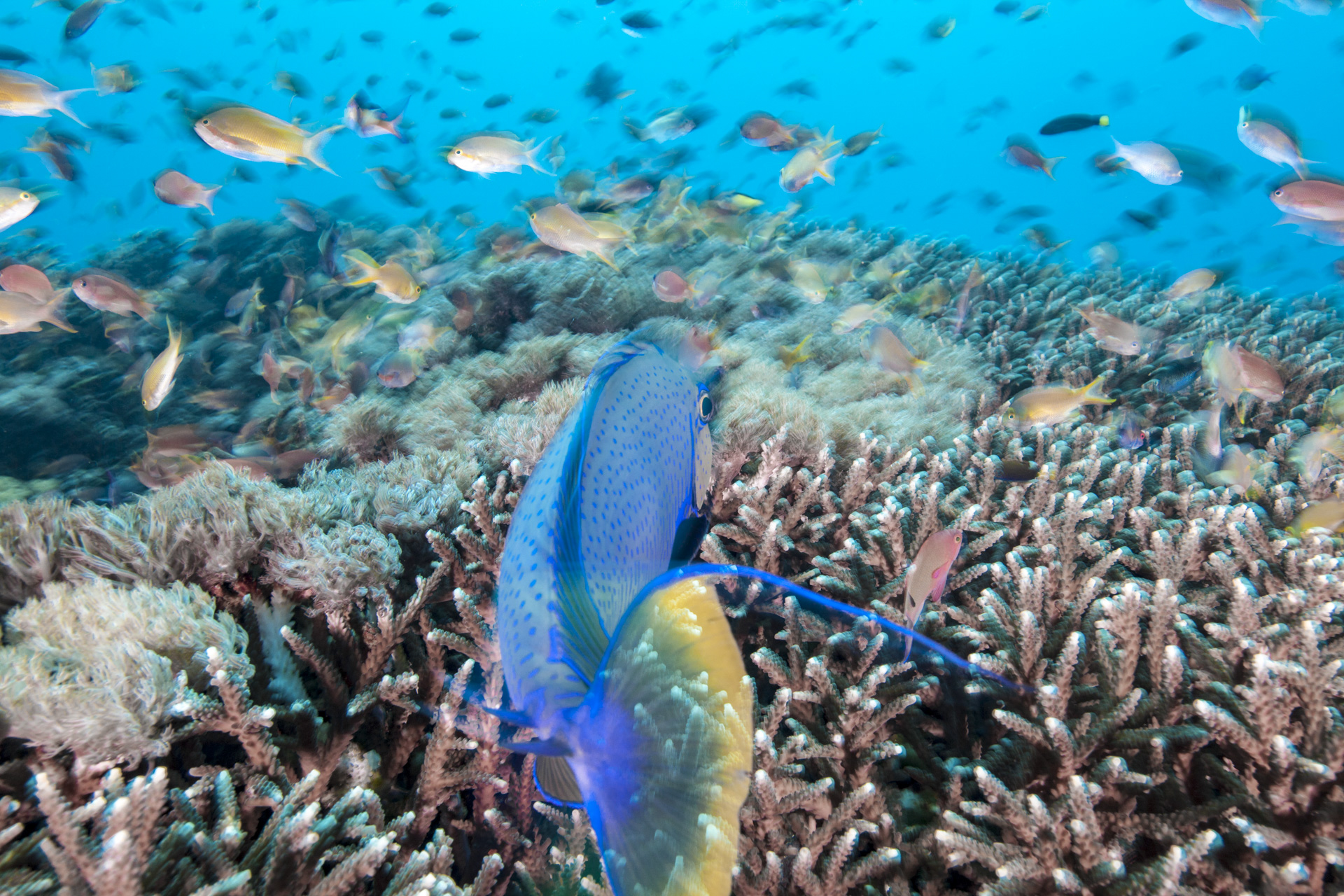 unicorn fish, bali david p. robinson, phd / coral reef image bank