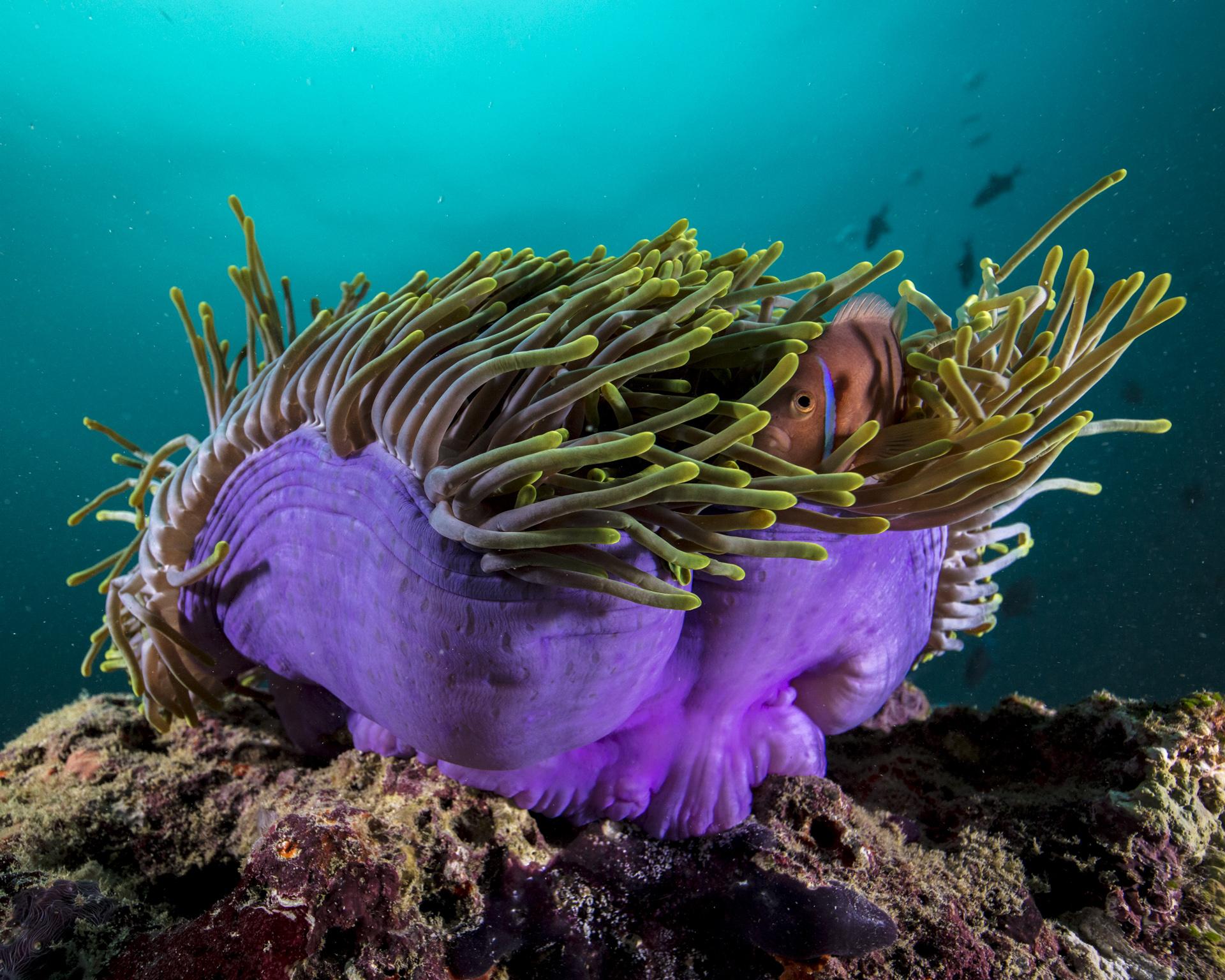 clownfish in anemone, maldives Credit: David p. robinson, phd / coral reef image bank