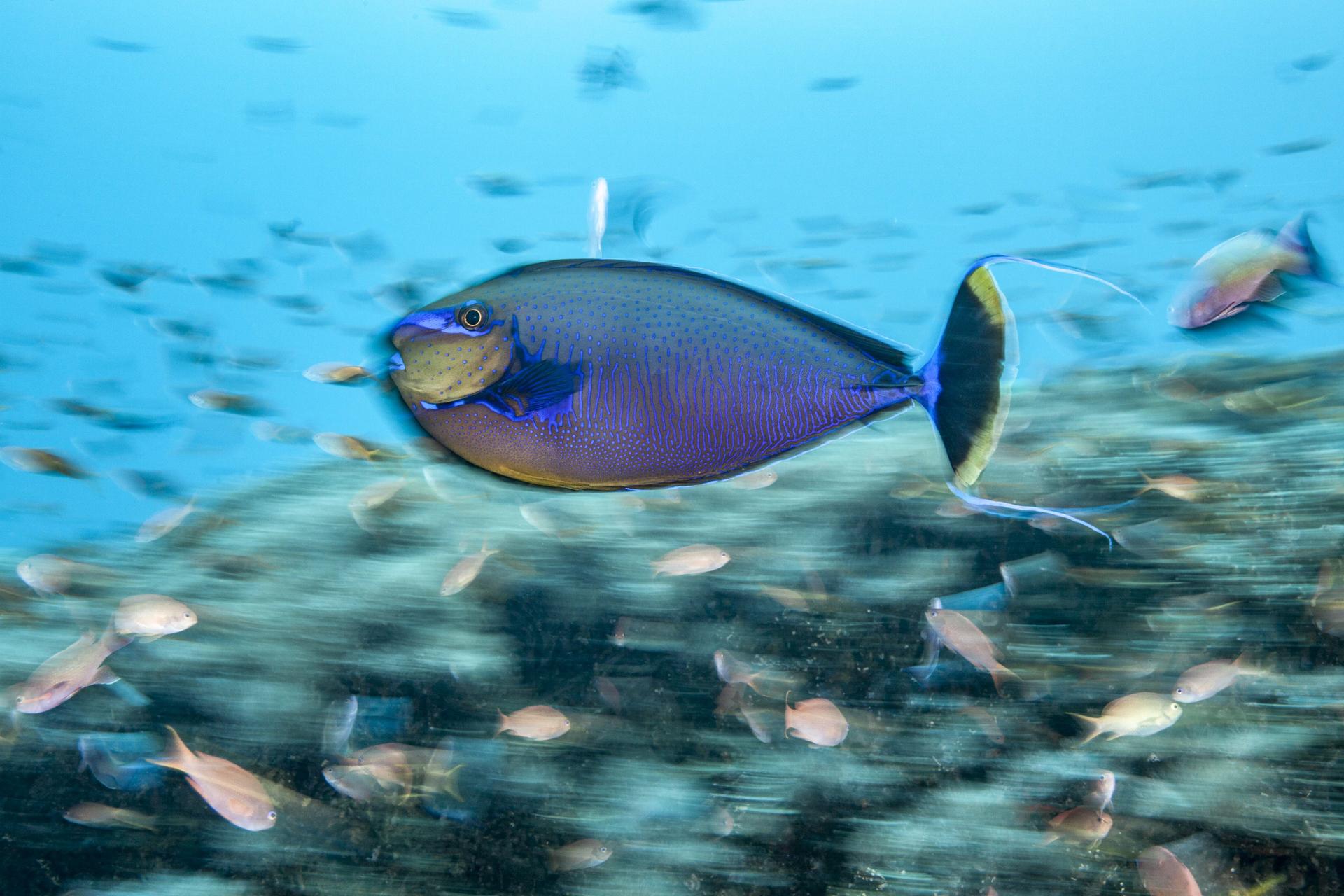 unicorn fish, bali Credit: David p. robinson, phd / coral reef image bank