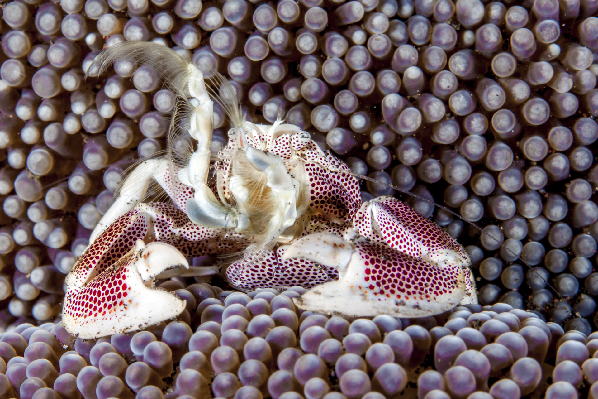 PORCELAIN crab, andaman islands Credit: David P. Robinson / coral reef image bank