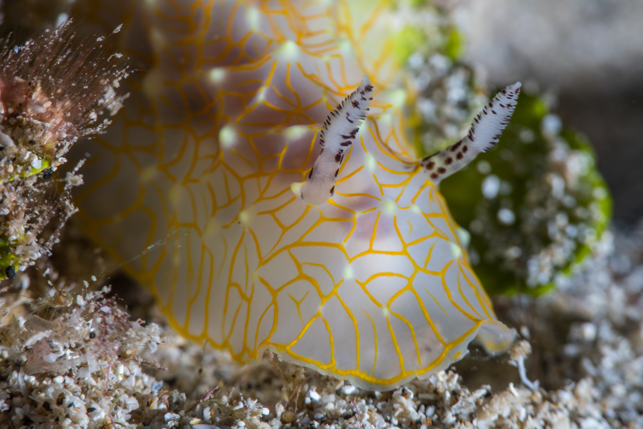 NUDIBRANCH CREDIT: KIMBERLY JEFFERIES / coral reef image bank