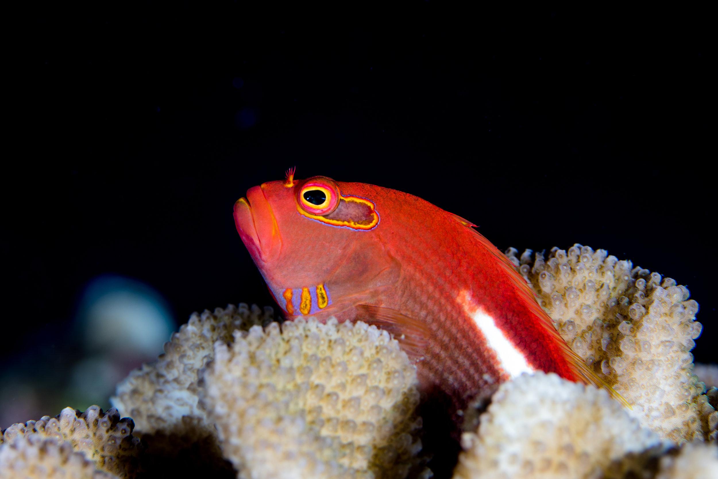 Paracirrhites, hawk fish credit: kimberly jefferies / coral reef image bank