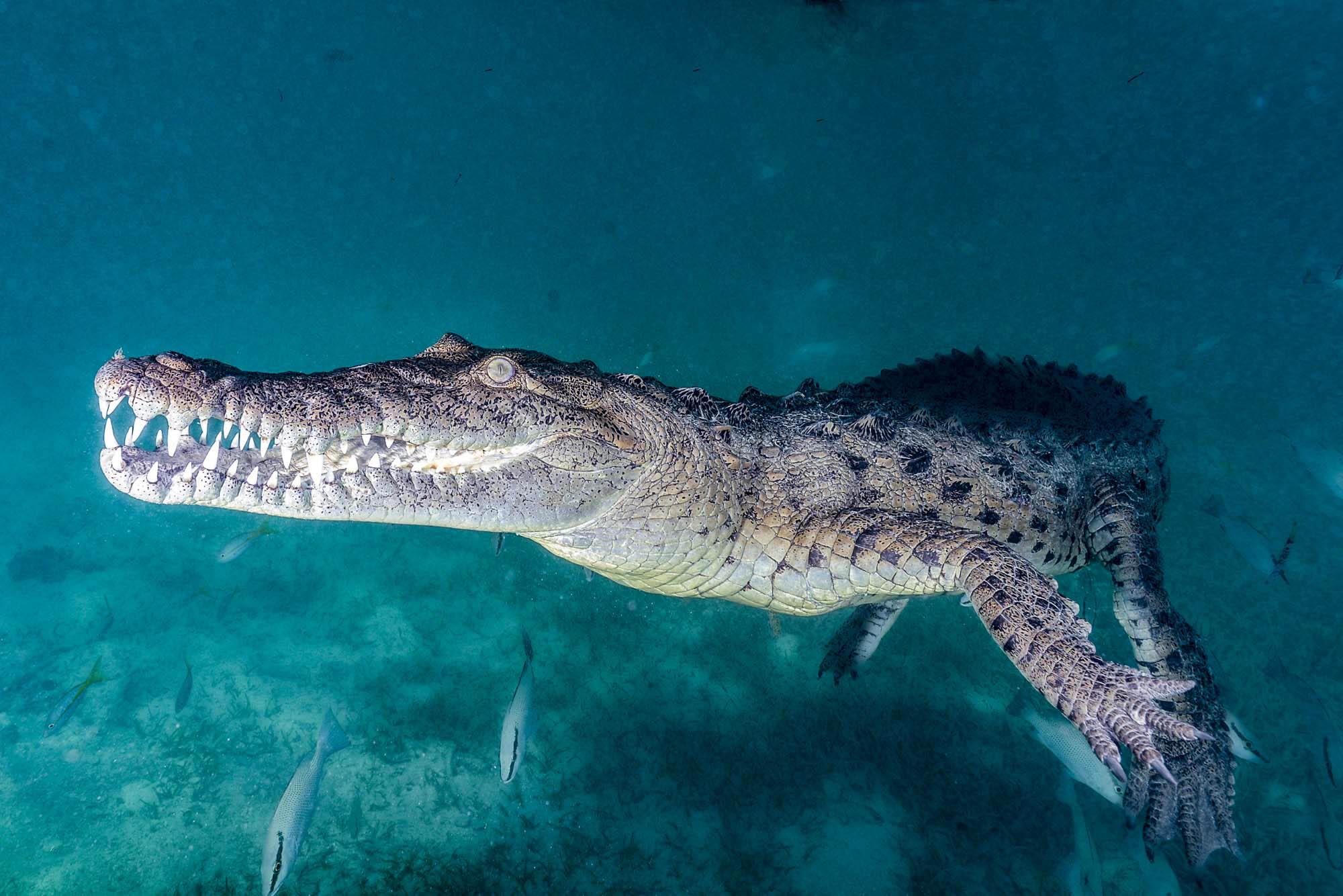 CROCODILES IN CUBA CREDIT: DAVID GROSS / coral reef image bank