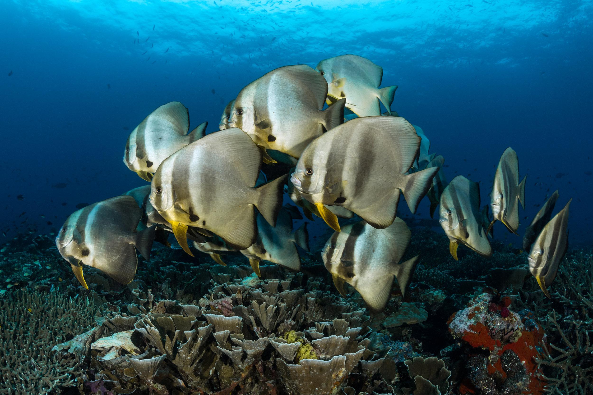 batfish in raja ampat CREDIT: FABRICE DUDENHOFER / coral reef image bank