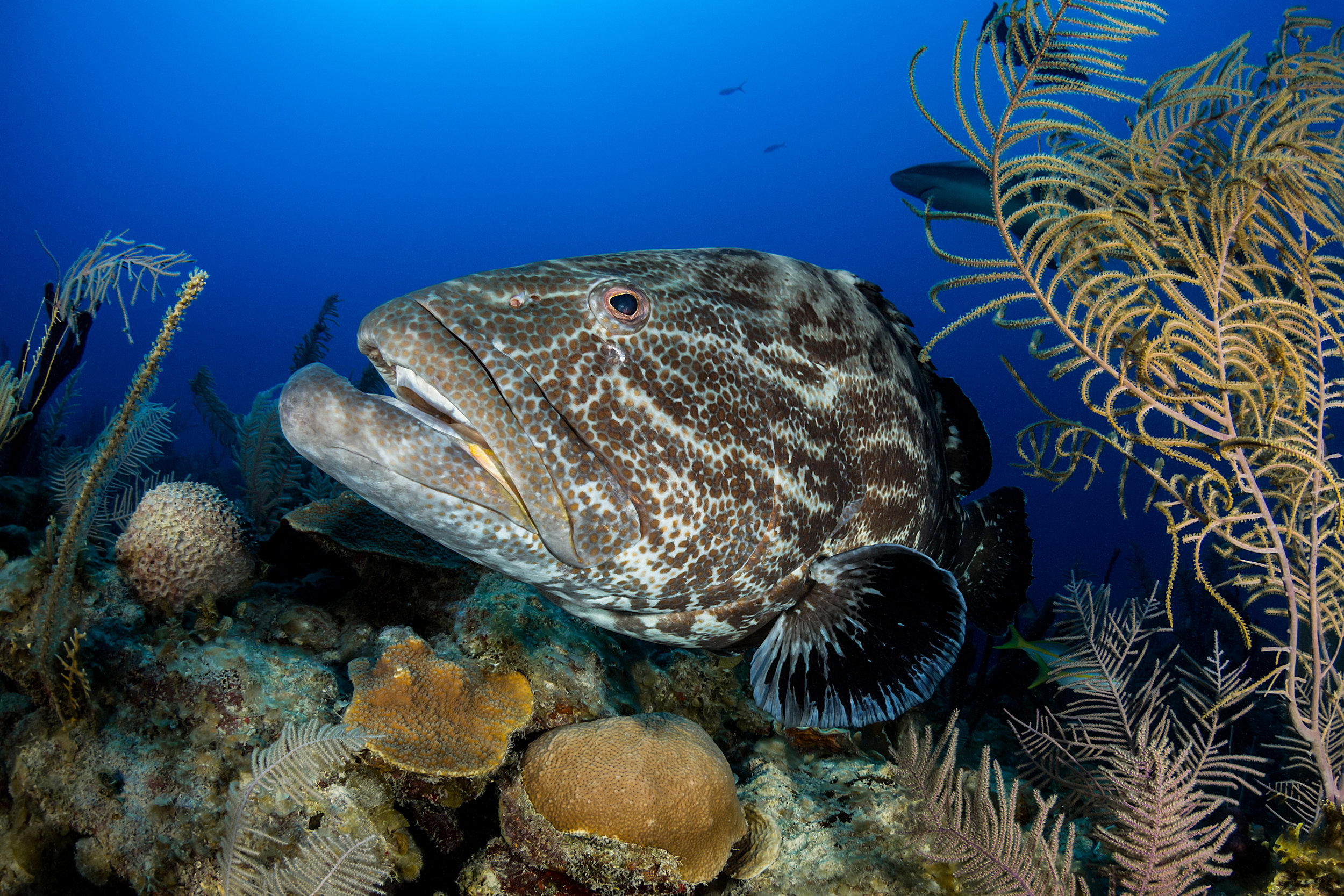GOLIATH GROUPER in cuba credit: fabrice dudenhofer / coral reef image bank