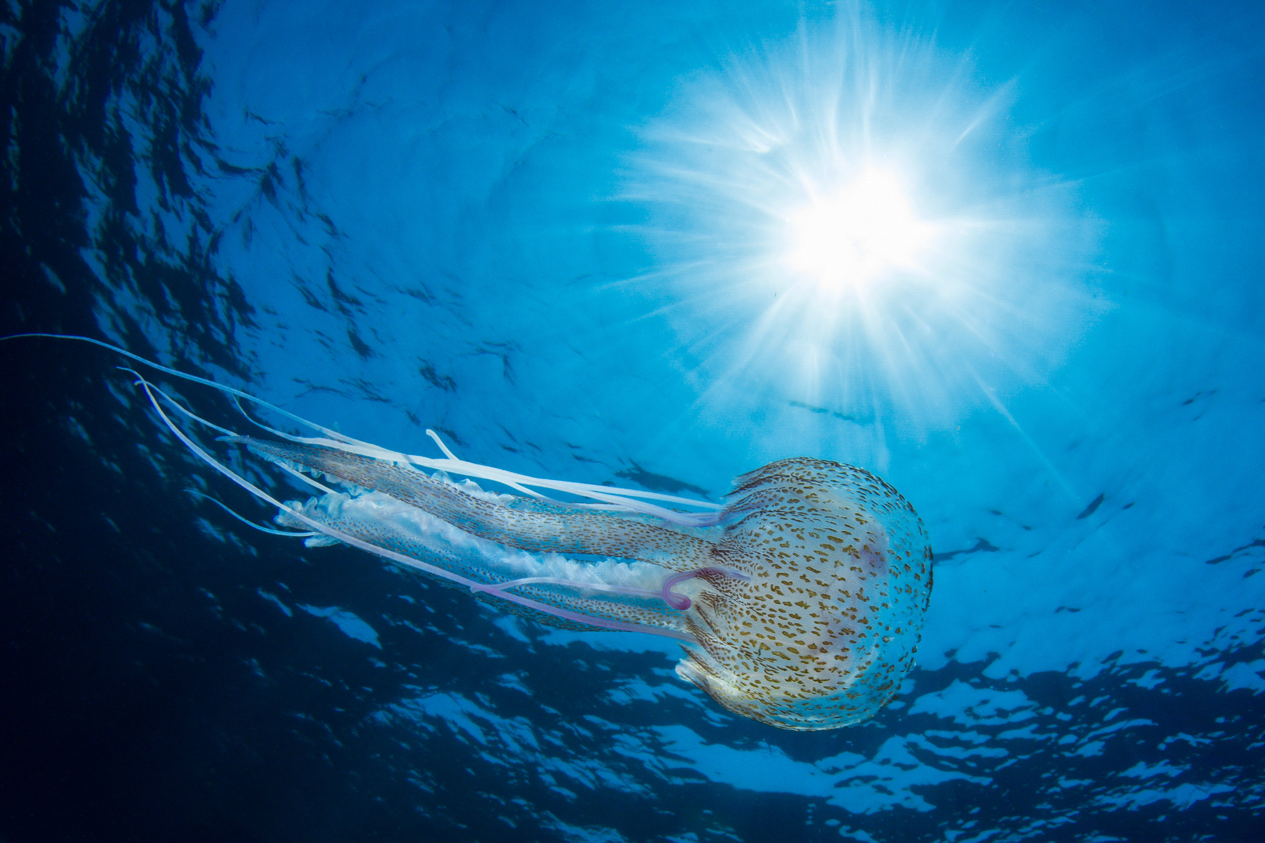 jellie credit: fabrice dudenhofer / coral reef image bank