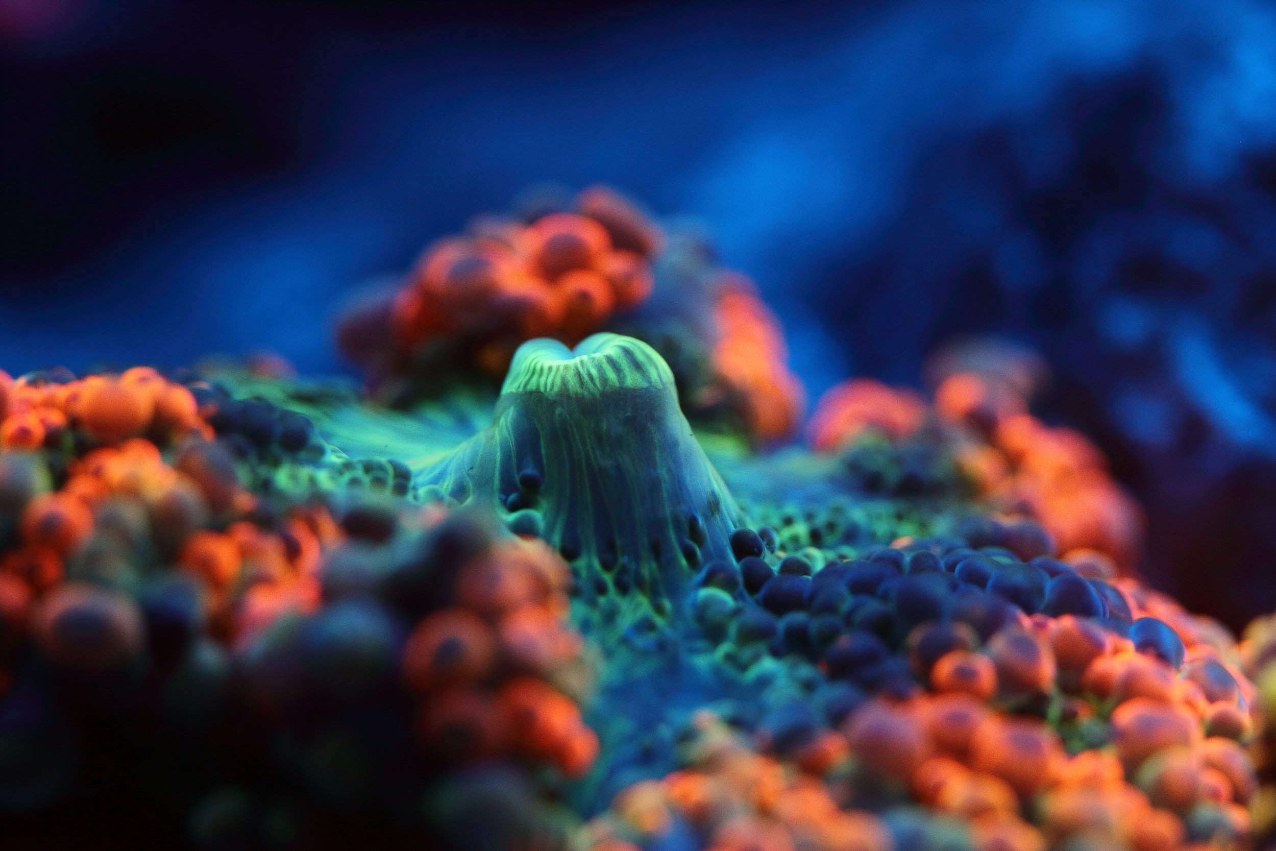 CORAL UNDER UV LIGHT CREDIT: RAMONA OSCHE / coral reef image bank