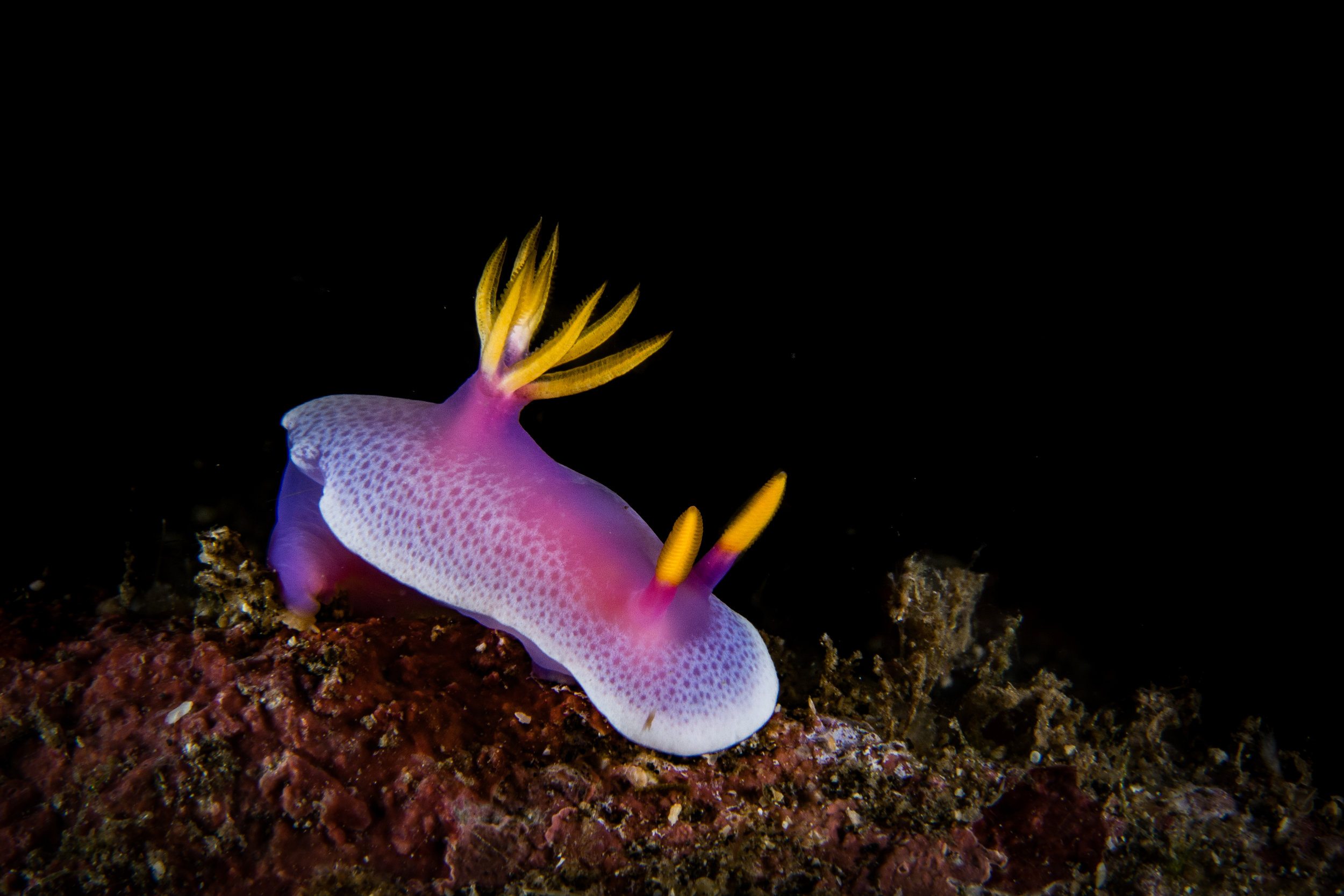 PURPLE SEA SLUG CREDIT: Wojtek Meczynski / coral reef image bank