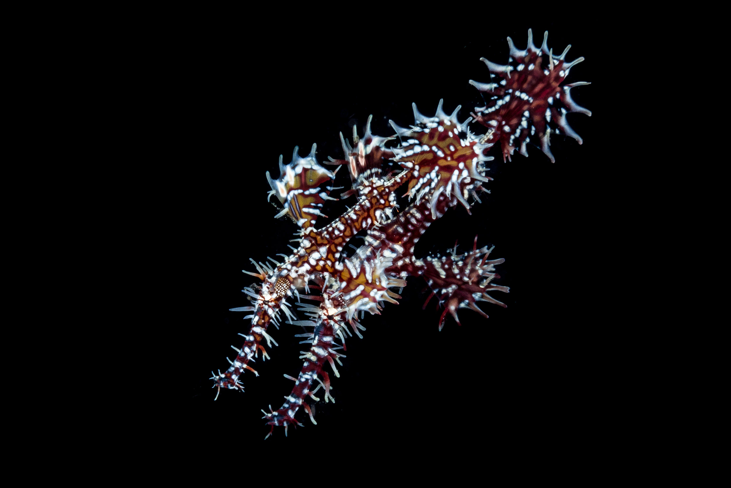 Pair of ornate ghost pipefish CREDIT: Wojtek Meczynski / coral reef image bank