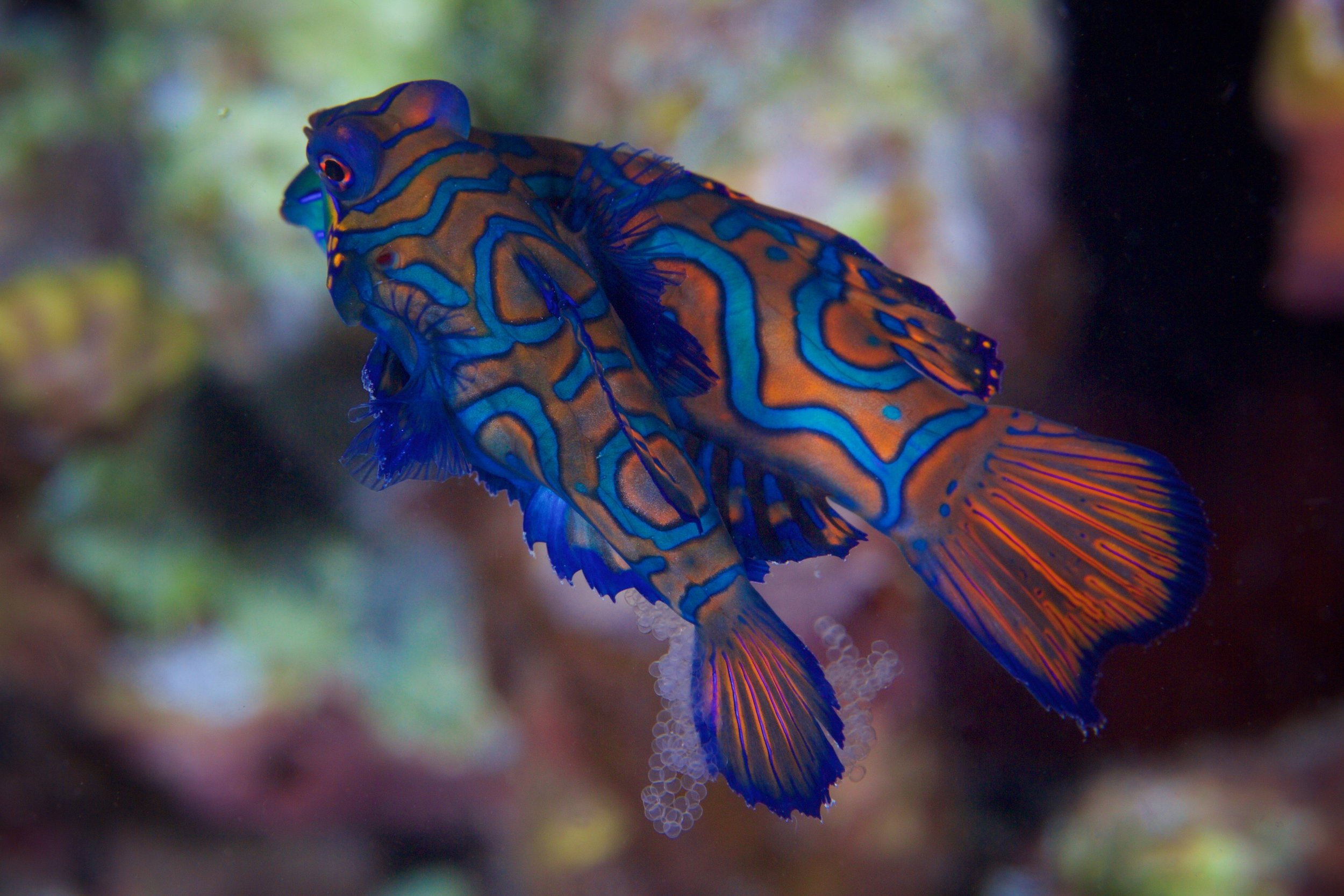 Mandarin major in Dumaguete, Philippines CREDIT: GREGORY PIPER/ coral reef image bank