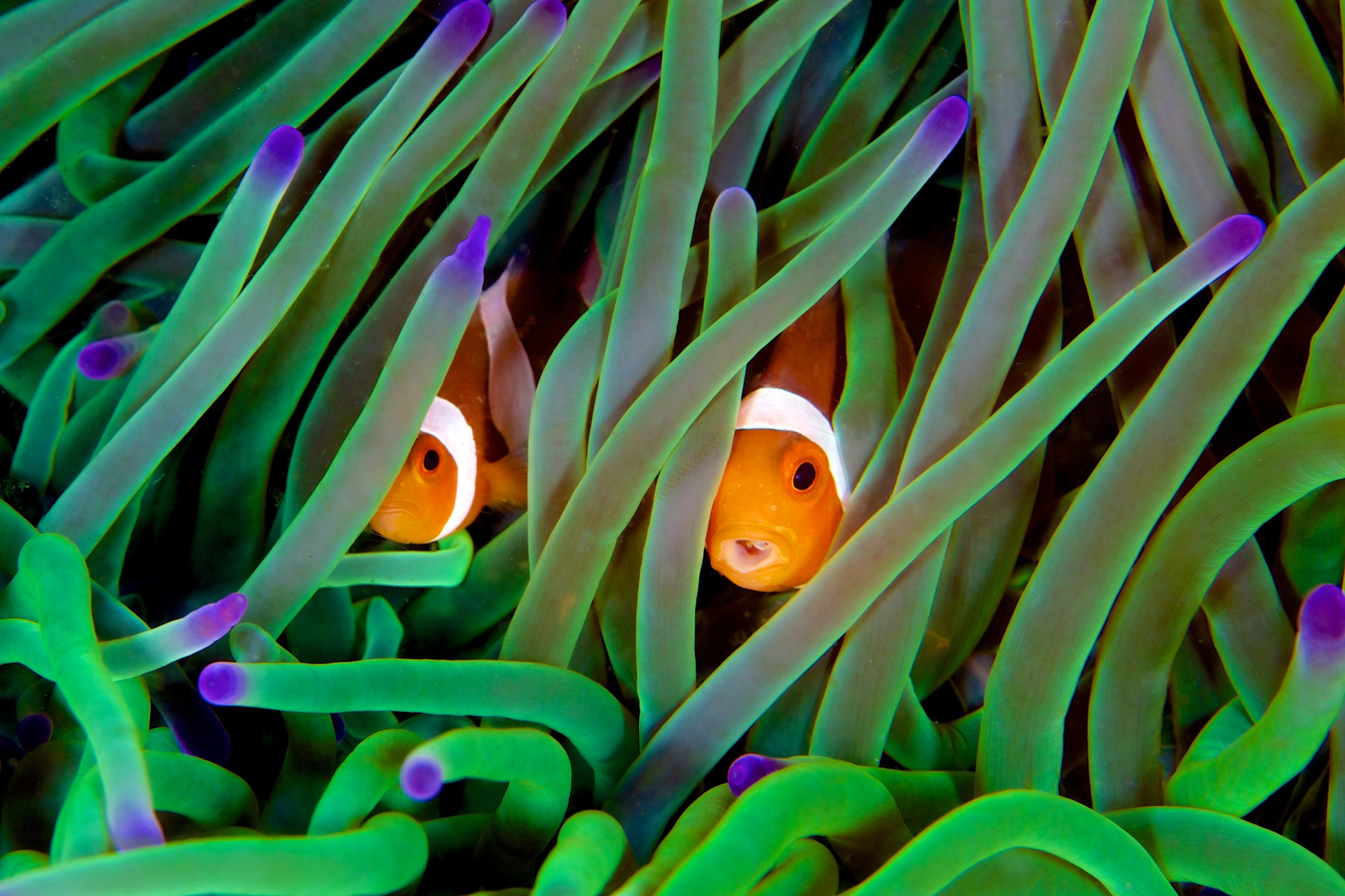 CLOWNFISH IN KOMODO CREDIT: GREGORY PIPER / coral reef image bank