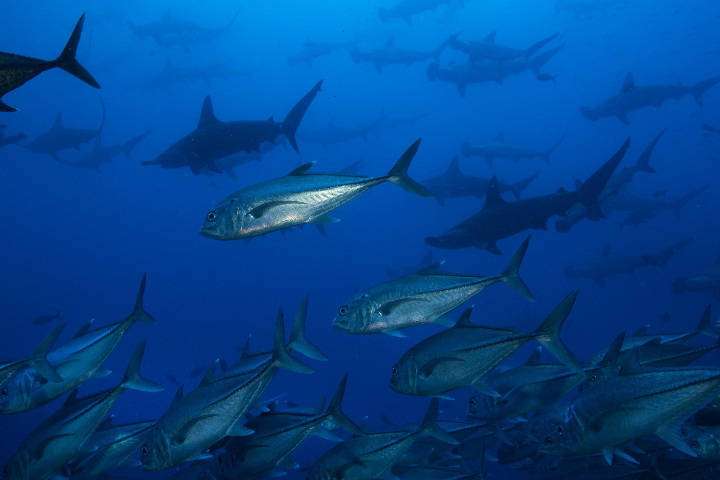 JACK AND SHARKS CREDIT: RICK MISKIV / coral reef image bank