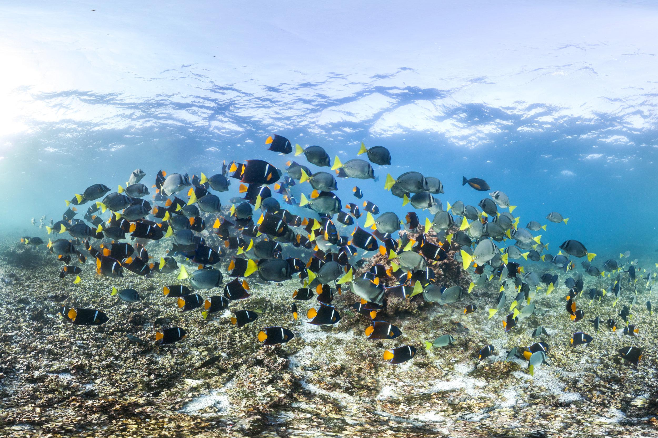 DEVILS CROWN, GALAPAGOS CREDIT: THE OCEAN AGENCY / XLCSS
