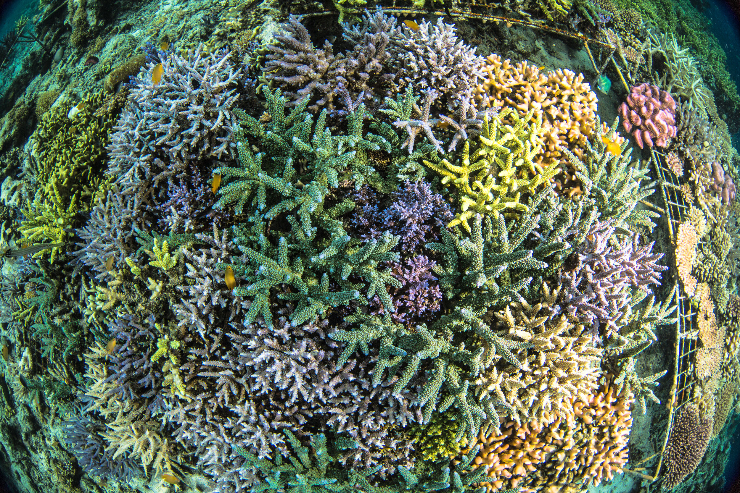 05 - Many species of coral are being grown CrEDIT: MArtin COLOGNOLI