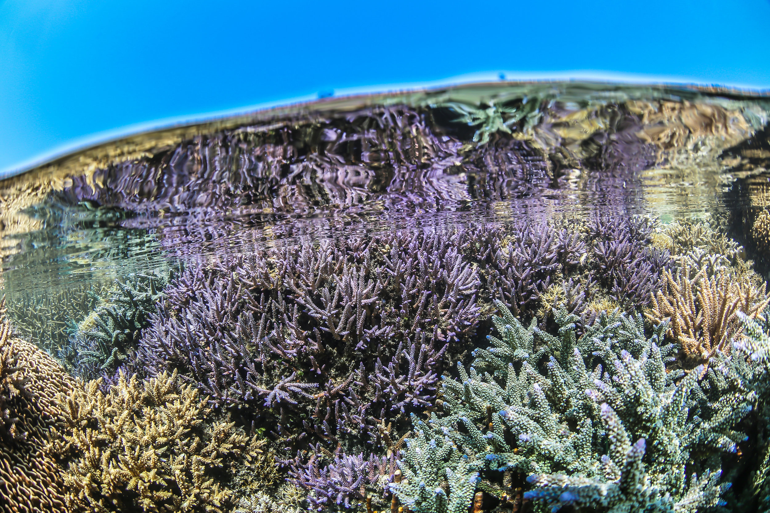 16 - The corals grow in large colonies CREDIT: MArtin COLOGNOLI