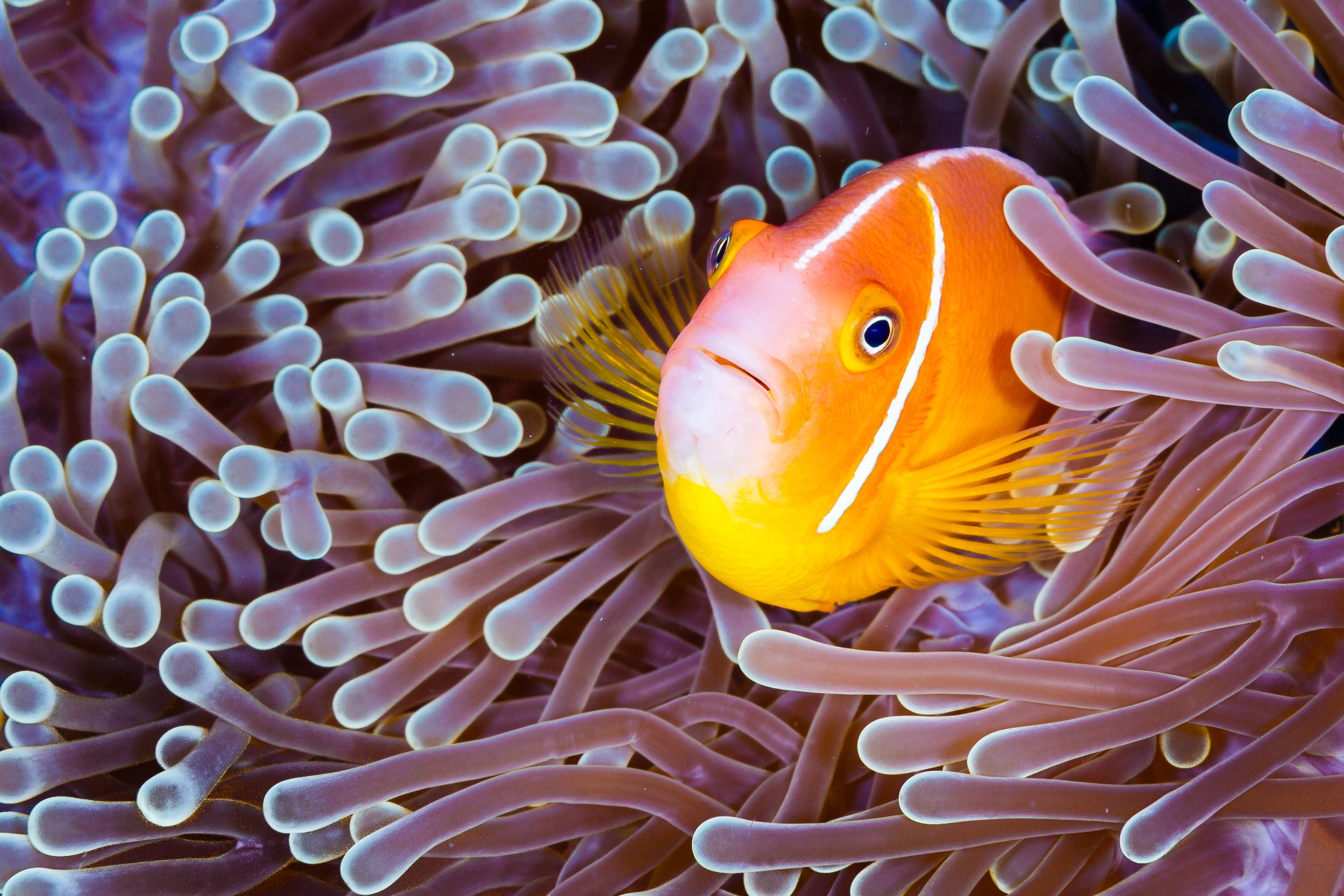 clownfish in anemone CREDIT: GRANT THOMAS / coral reef image bank