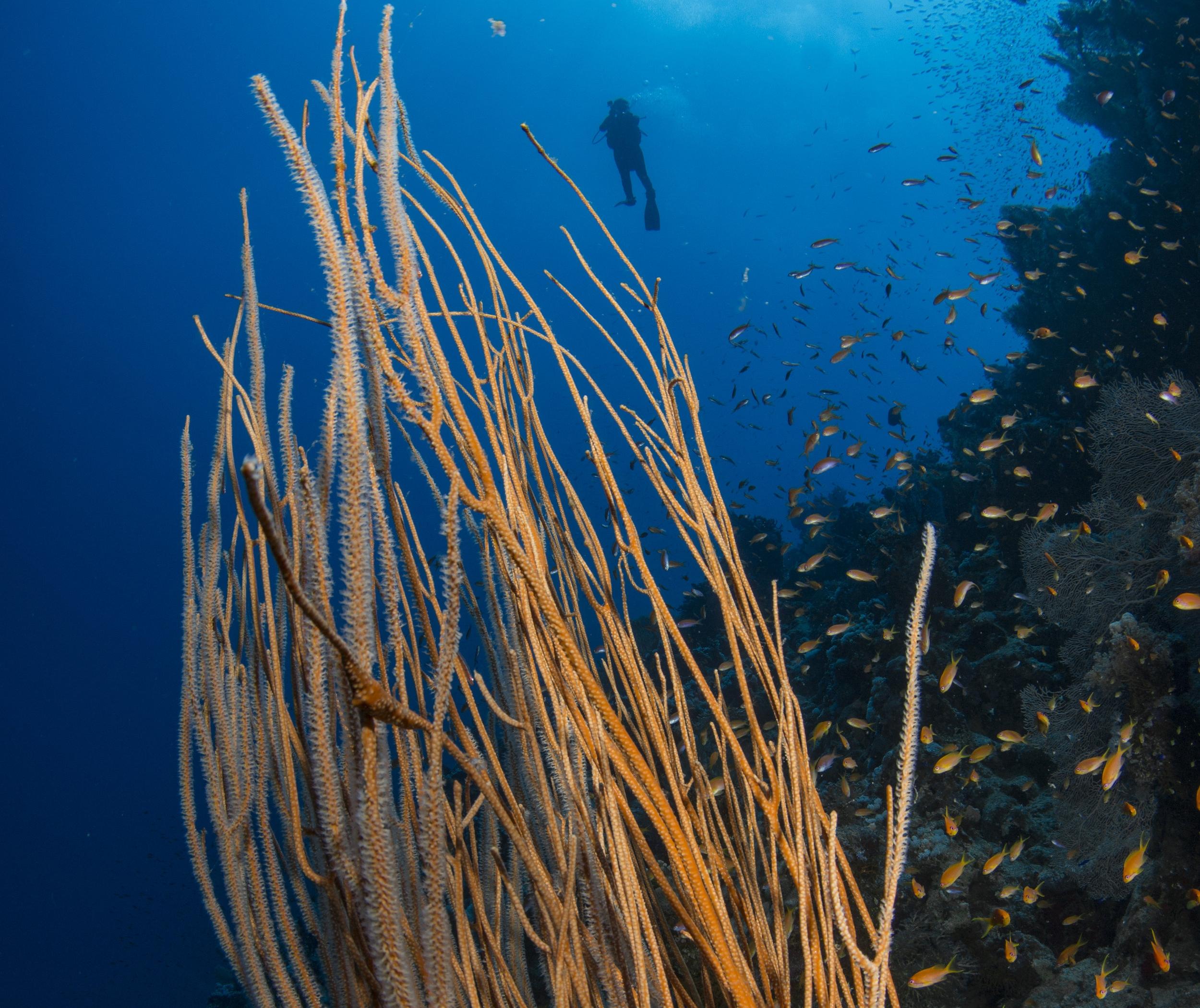 DIVER behind coral CREDIT: RENATA ROMEO / coral reef image bank