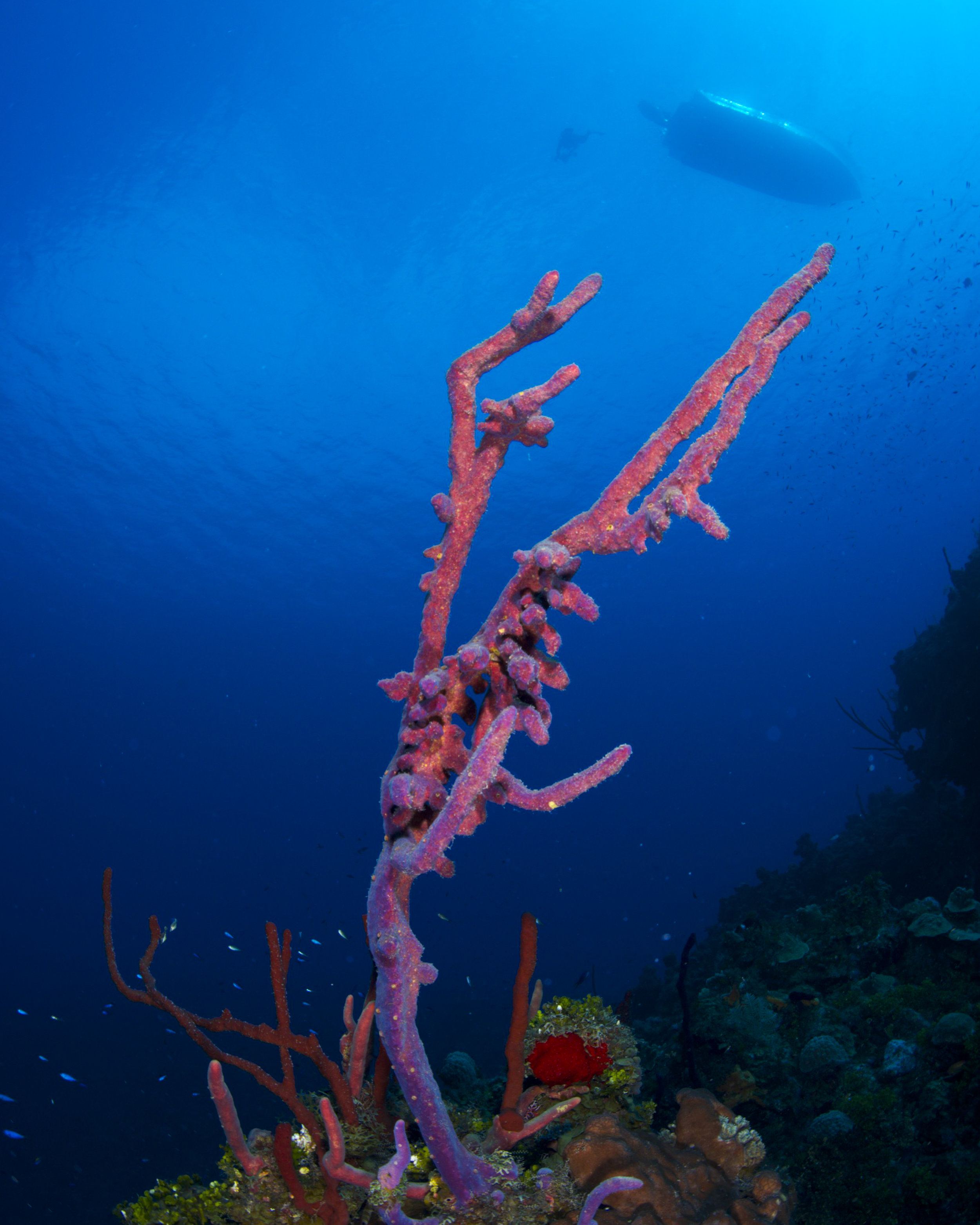 ROW PORE ROPE SPONGE, GRAND CAYMAN CREDIT: ELLEN CUYLAERTS / coral reef image bank