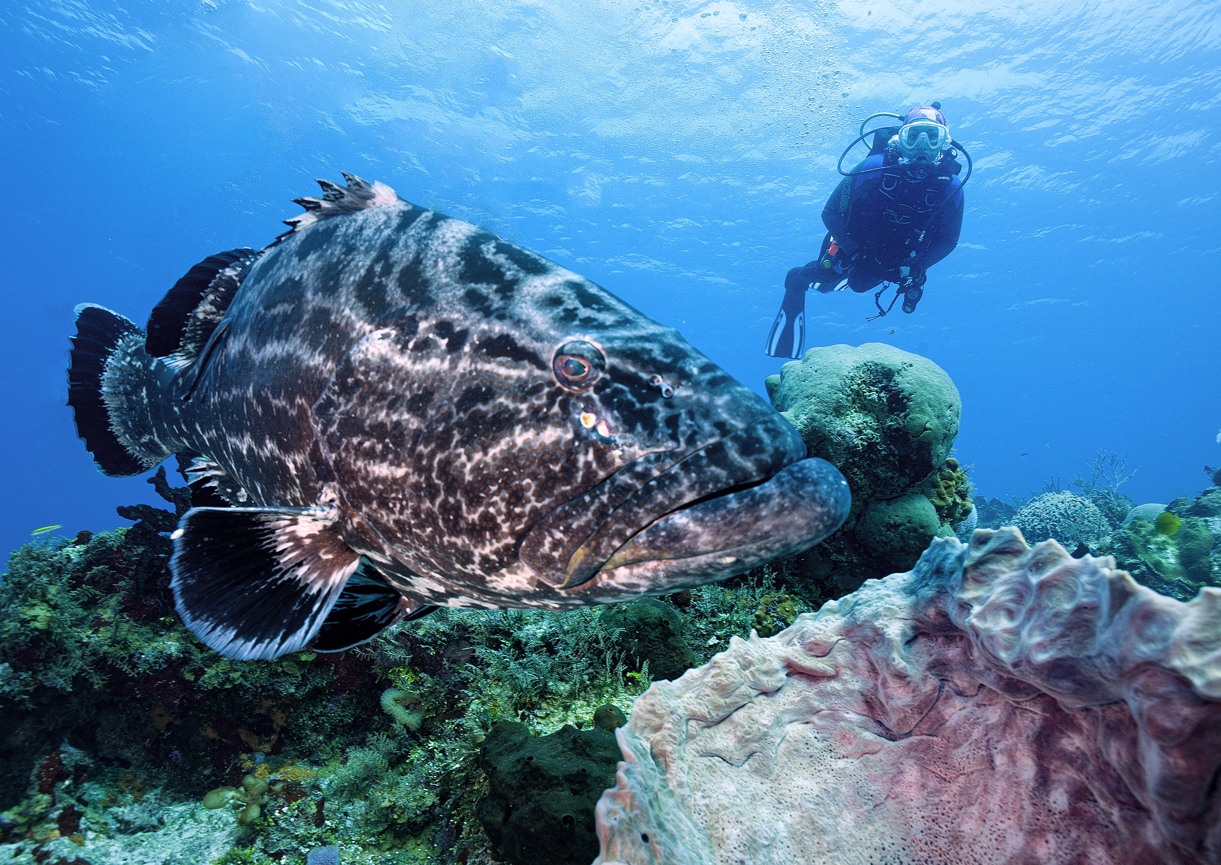 Black grouper in Cozumel Mexico credit: Jett Britnell / coral reef image bank
