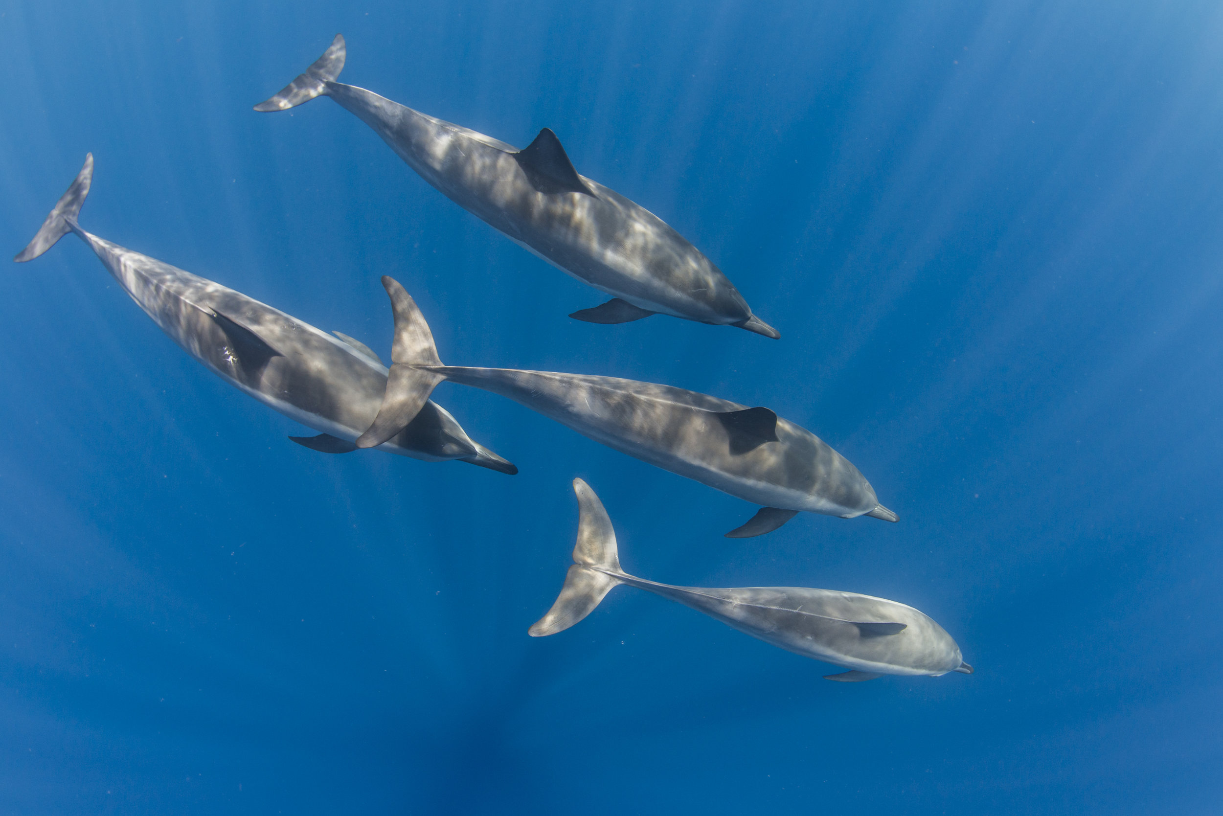 Spinner dolphins in Hawaii credit: ellen cuylaerts / coral reef image bank