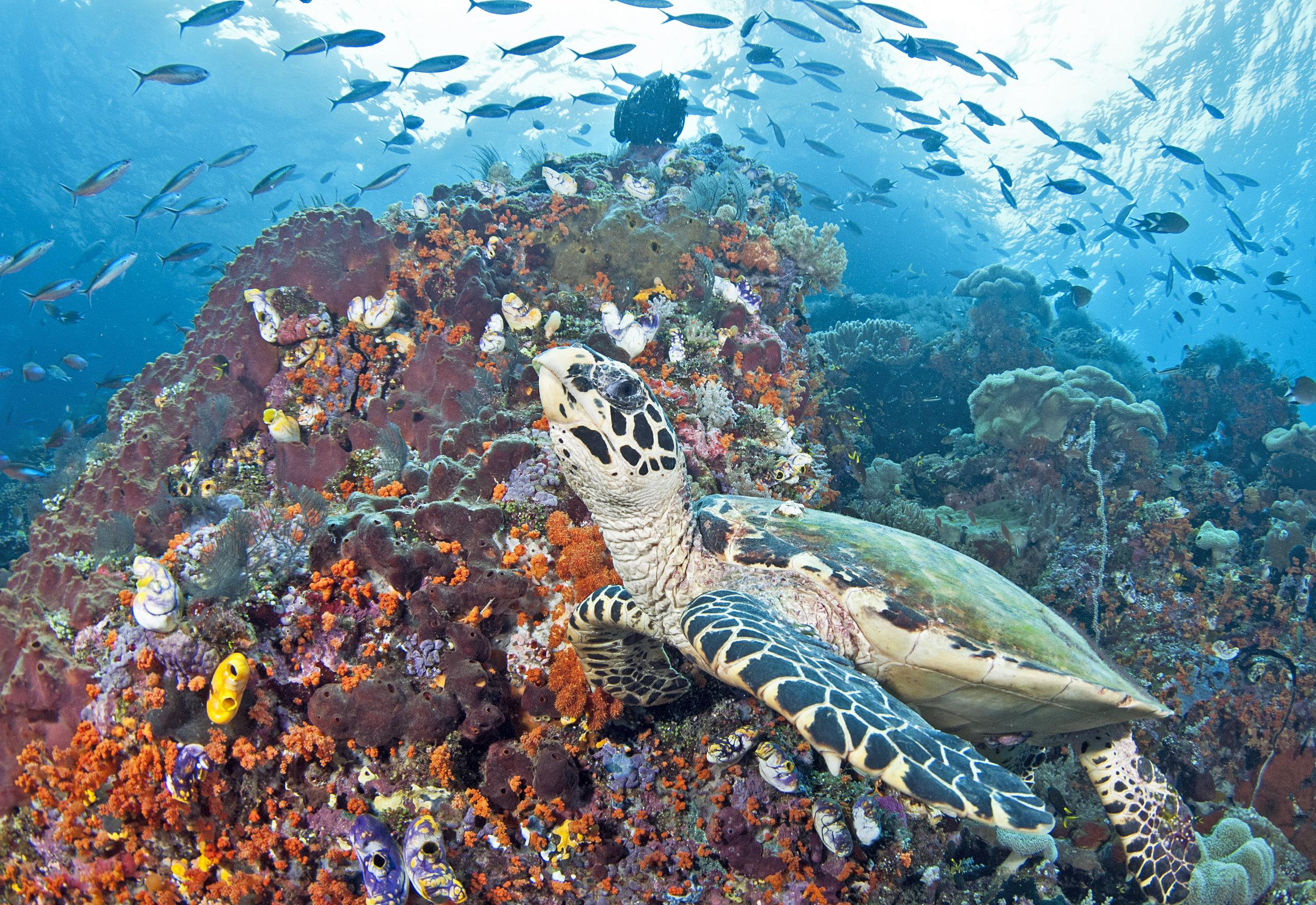TURTLE, RAJA AMPAT, INDONESIA CREDIT: JAYNE JENKINS / coral reef image bank