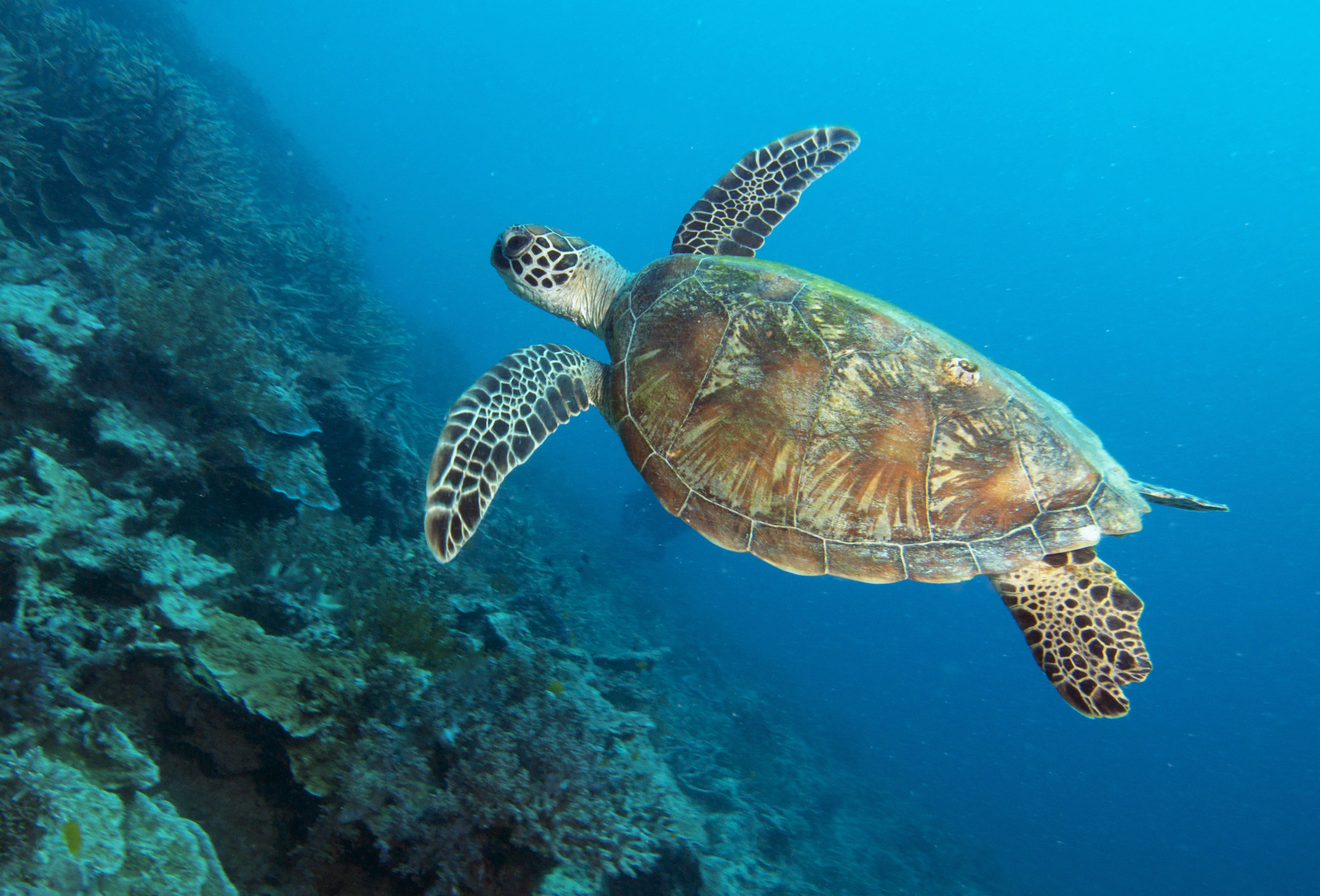 SEA TURTLE CREDIT: THE OCEAN AGENCY / coral reef image bank