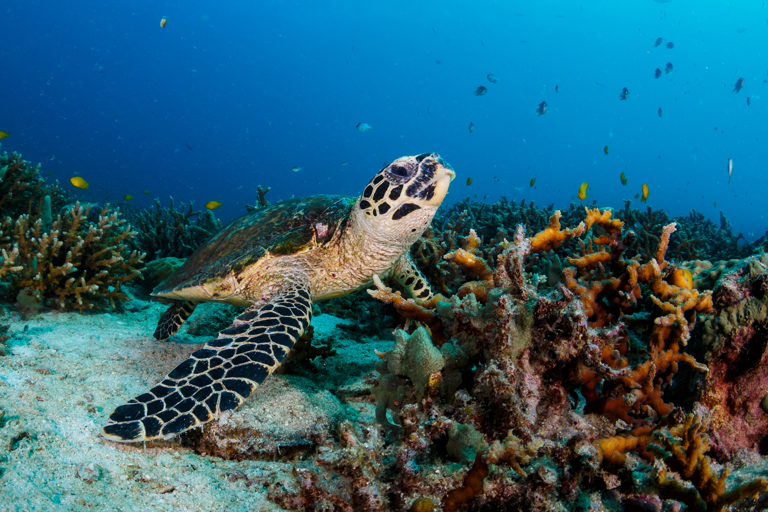 TURTLE CREDIT: GRANT THOMAS / coral reef image bank