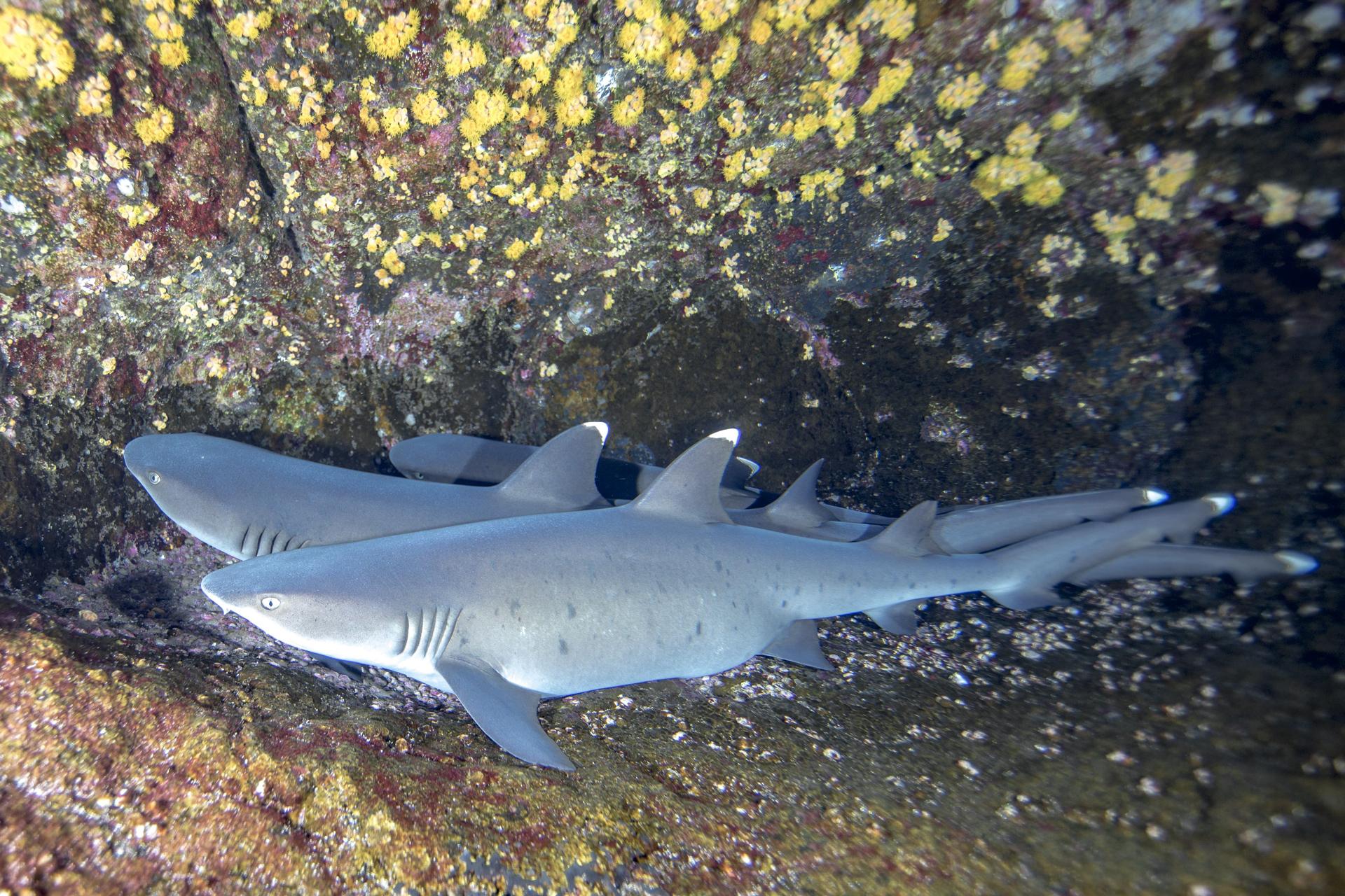 WHITETIP REEF SHARK, SOCORRO CREDIT: DAVID P. ROBINSON, PHD / coral reef image bank