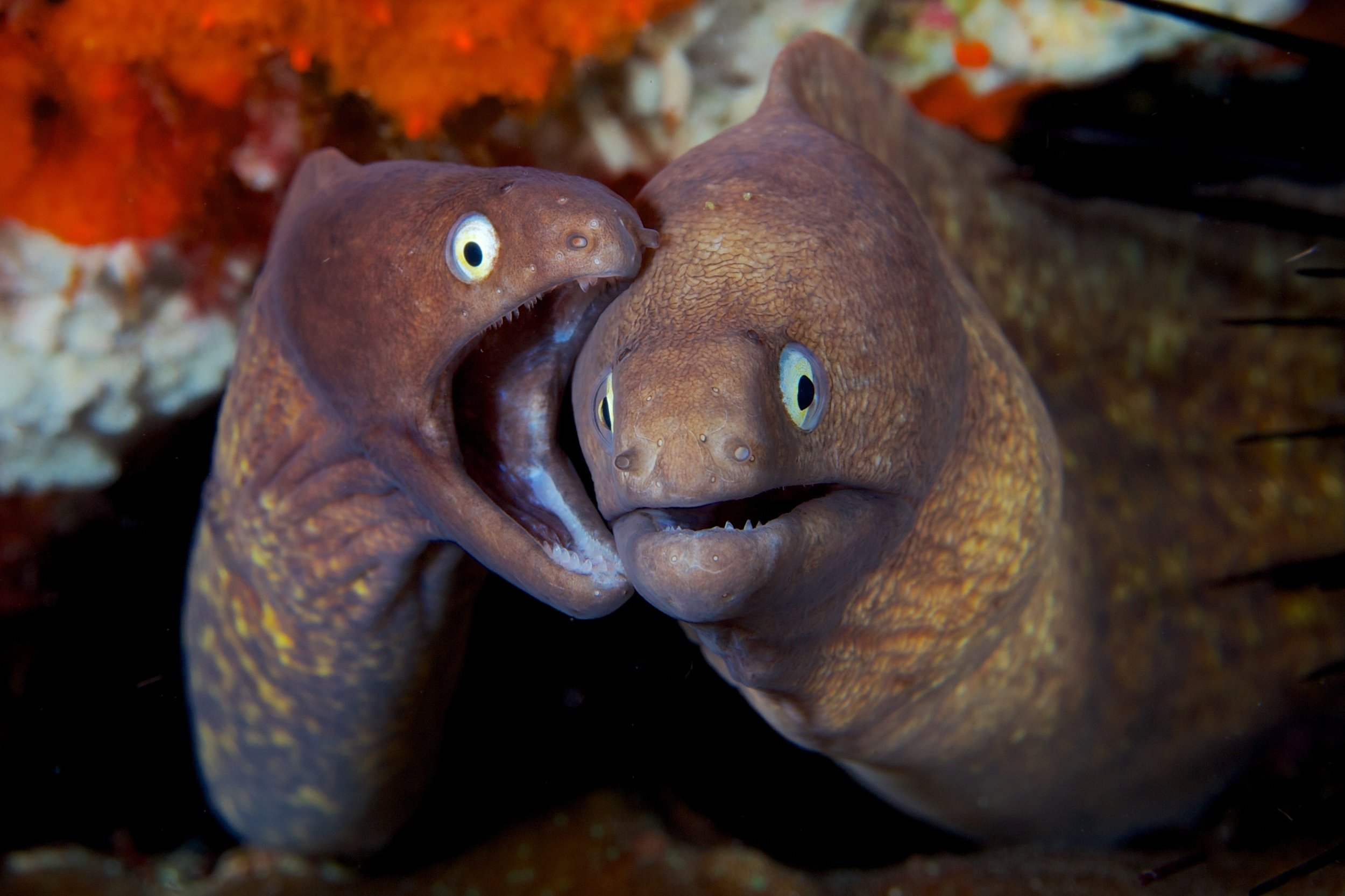 brown morays credit: Gregory piper / coral reef image bank