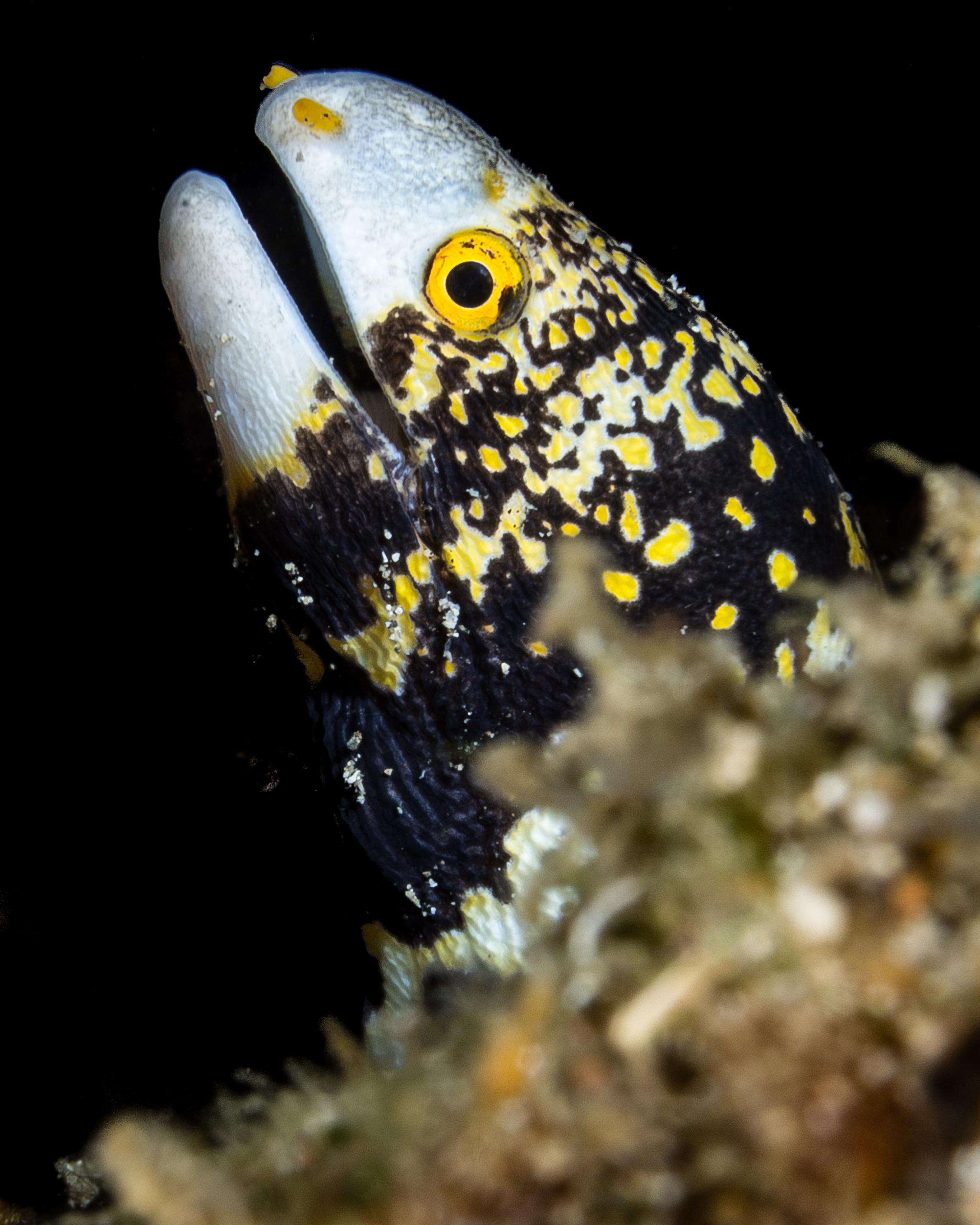 snowflake moray credit: Wojtek Meczynski / coral reef image bank