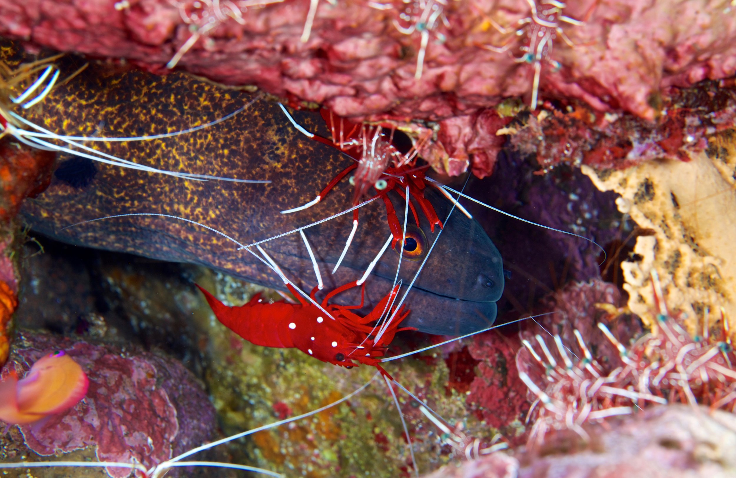 moray with cleaner shrimp credit: Gregory piper / coral reef image bank