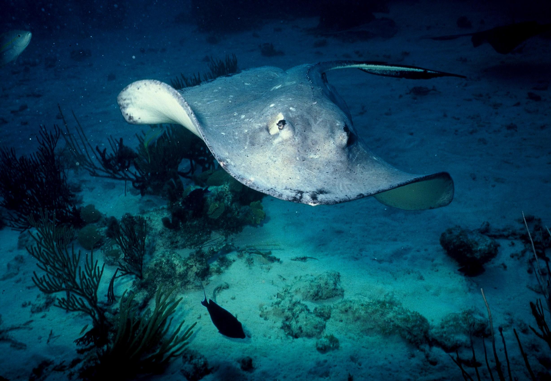stingray credit: Katerina Katopis / coral reef image bank