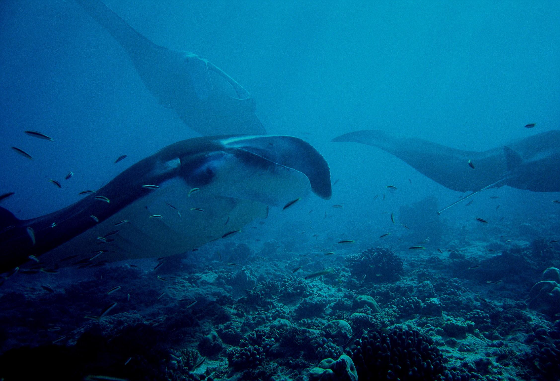 mantas credit: Katerina Katopis / coral reef image bank