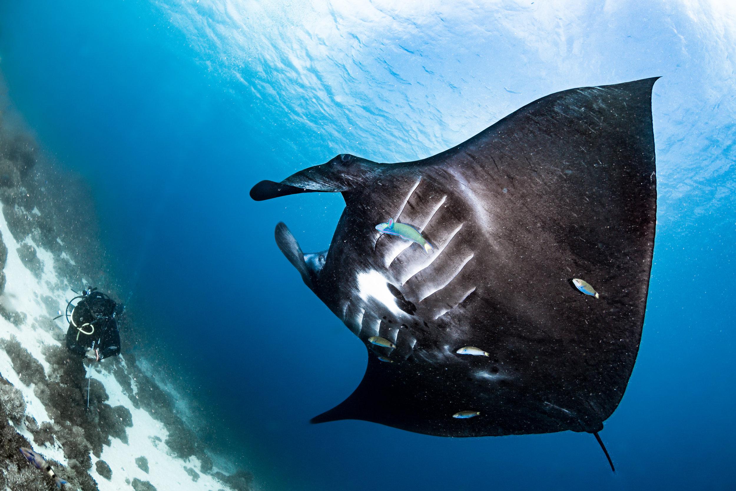 manta ray credit: grant thomas / coral reef image bank